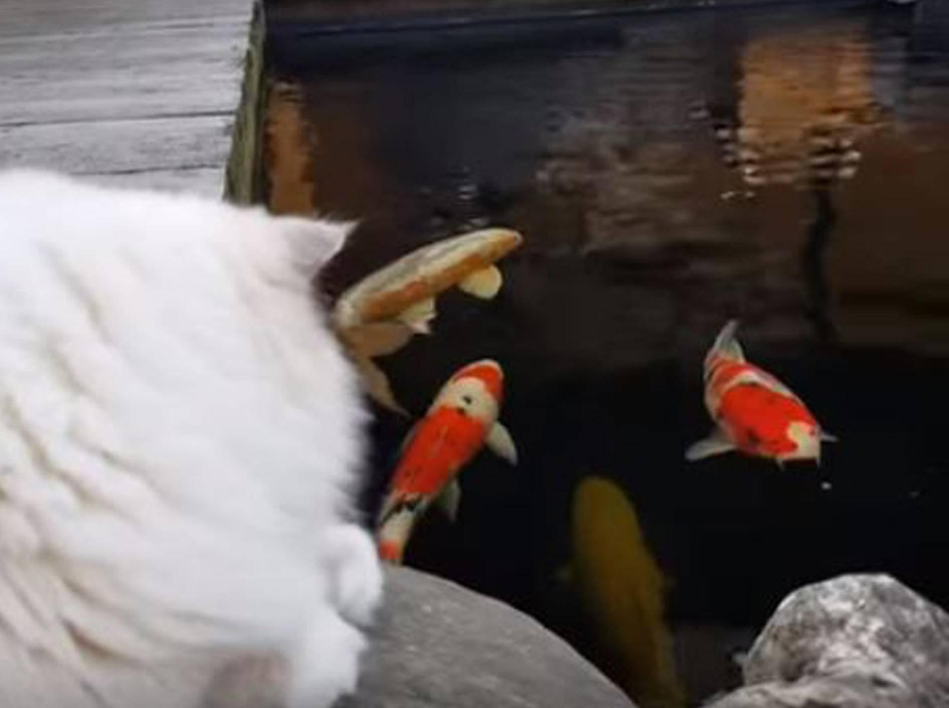 Ragdoll Toby beobachtet Koi-Fische - Bild: YouTube /Xiedubbel