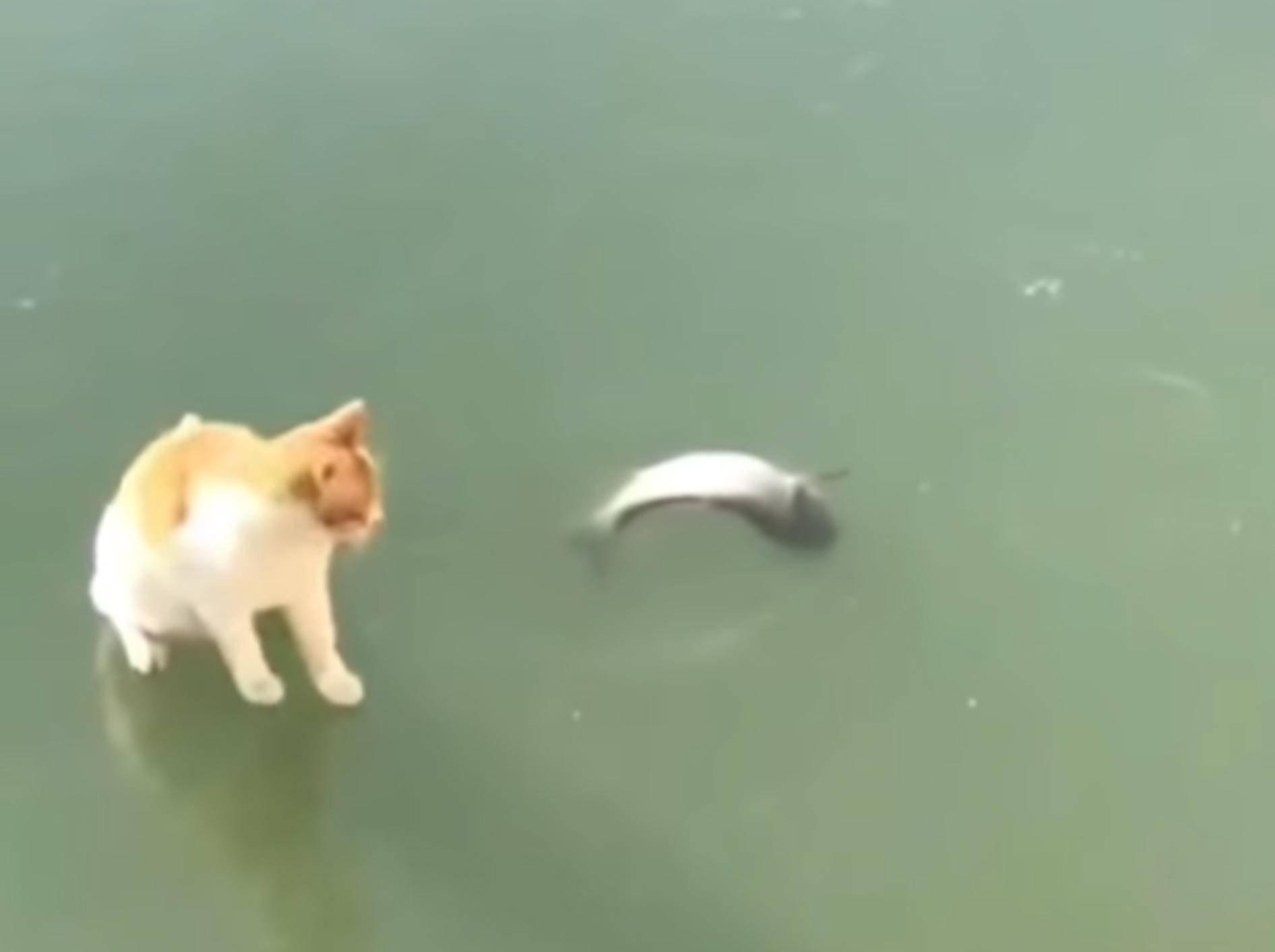 Diese süße Samtpfote hat es auf einen gefrorenen Fisch abgesehen - Bild: YouTube / Trendz Video Challenge