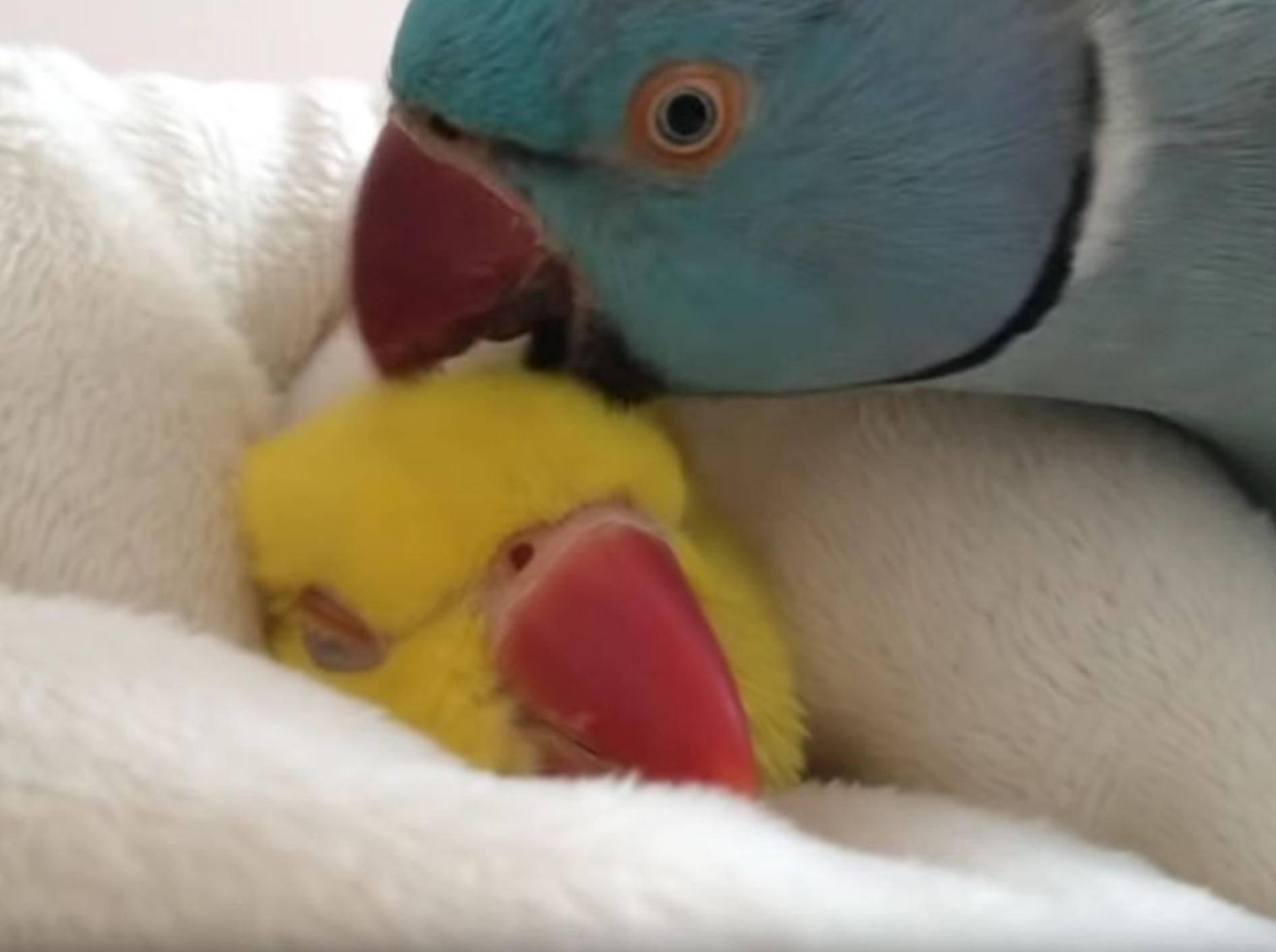 Eingeschnuckelter Papagei will noch etwas weiterdösen – YouTube / Rumble Viral
