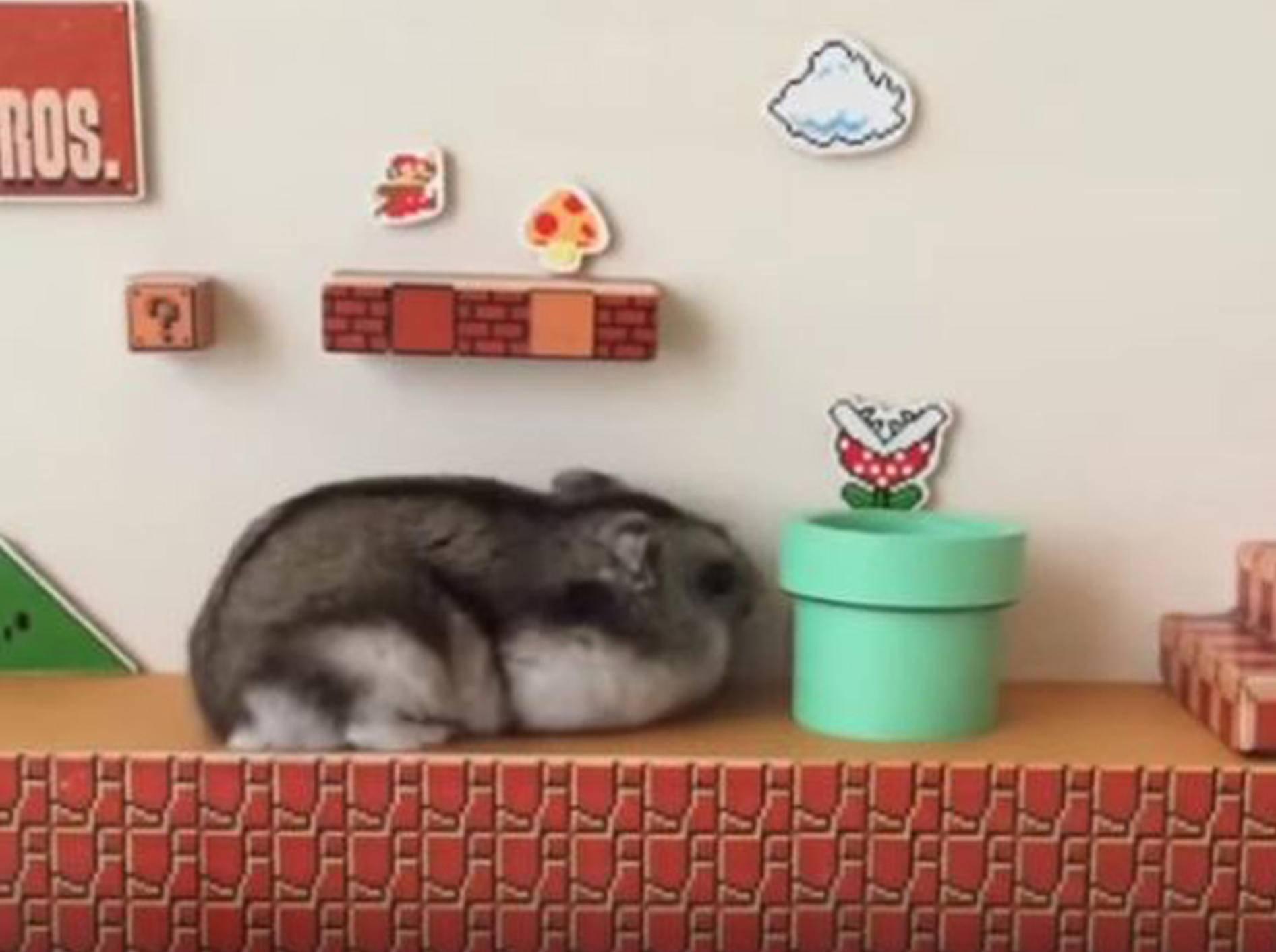 Dieser kleine Hamster macht einen auf Super Mario - Bild: YouTube / Matt mimeq
