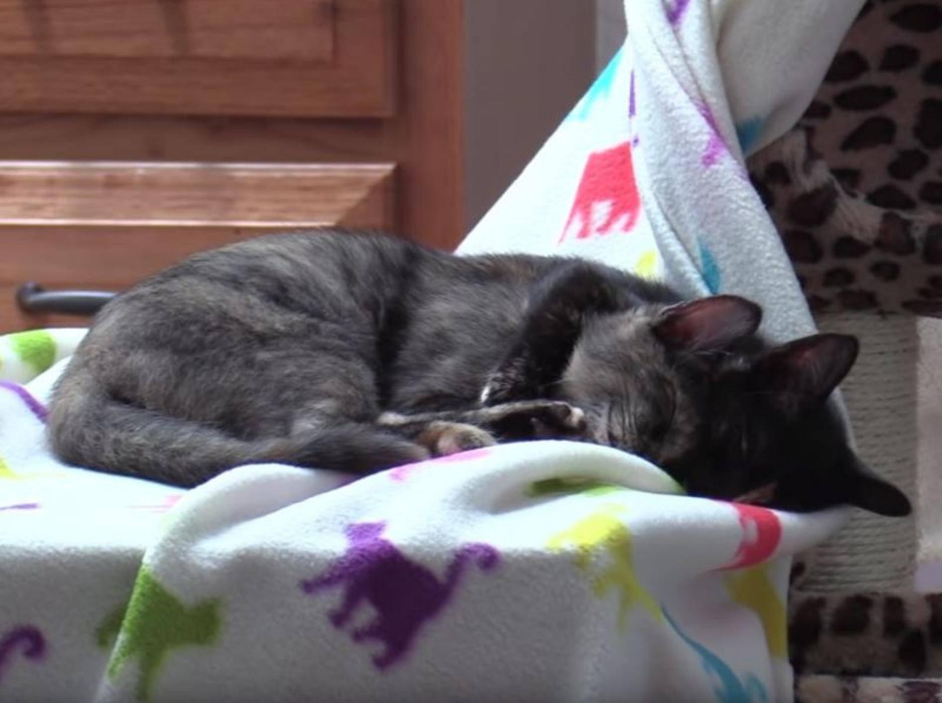 Schildpatt-Kaetzchen Jugg und Zig Zag lernen sich kennen – YouTube / Cole and Marmalade
