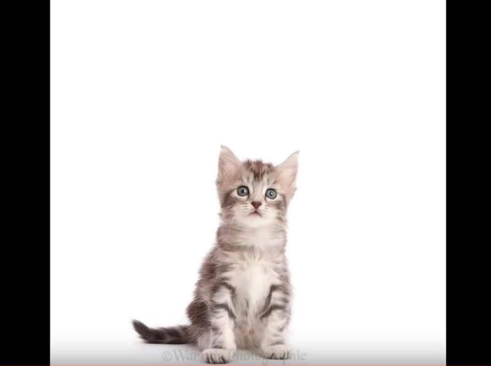 Zeitraffer: Ein Maine Coon Kätzchen wird groß – YouTube / Warren Photographic