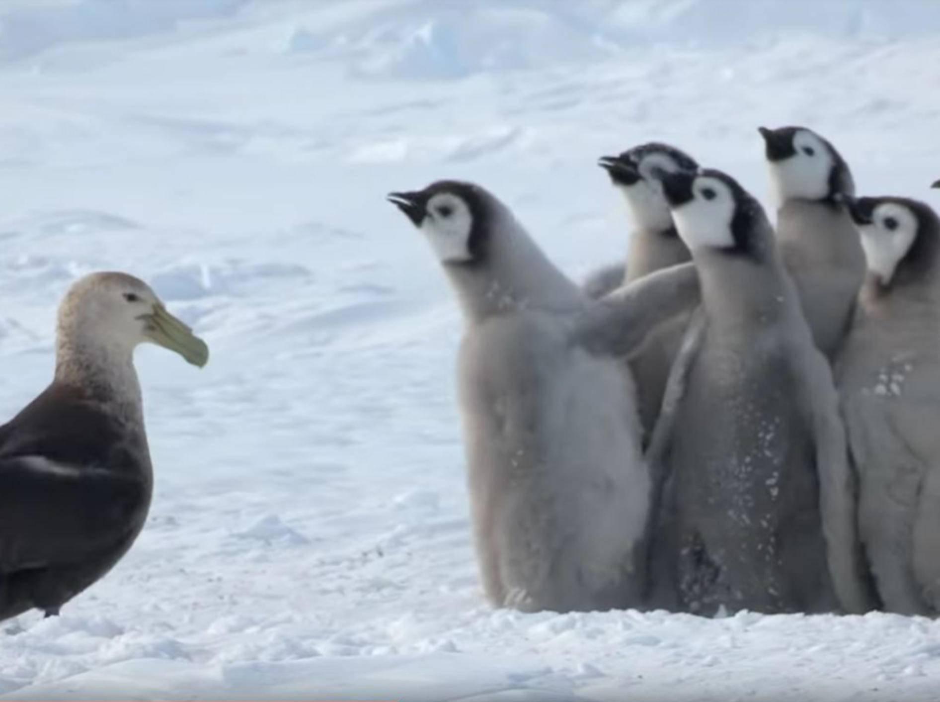 Pinguinküken in letzter Sekunde vor Riesensturmvogel gerettet! – YouTube / BBC