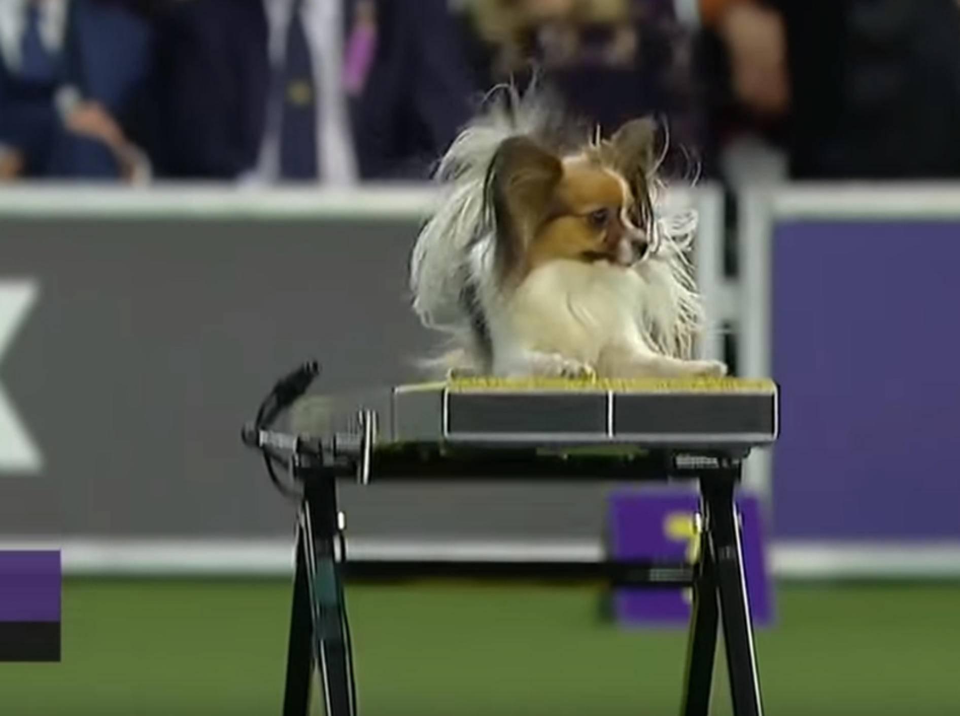Hündin Gabby punktet beim Agility-Wettbewerb mit Schnelligkeit - Bild: YouTube / FOX Sports
