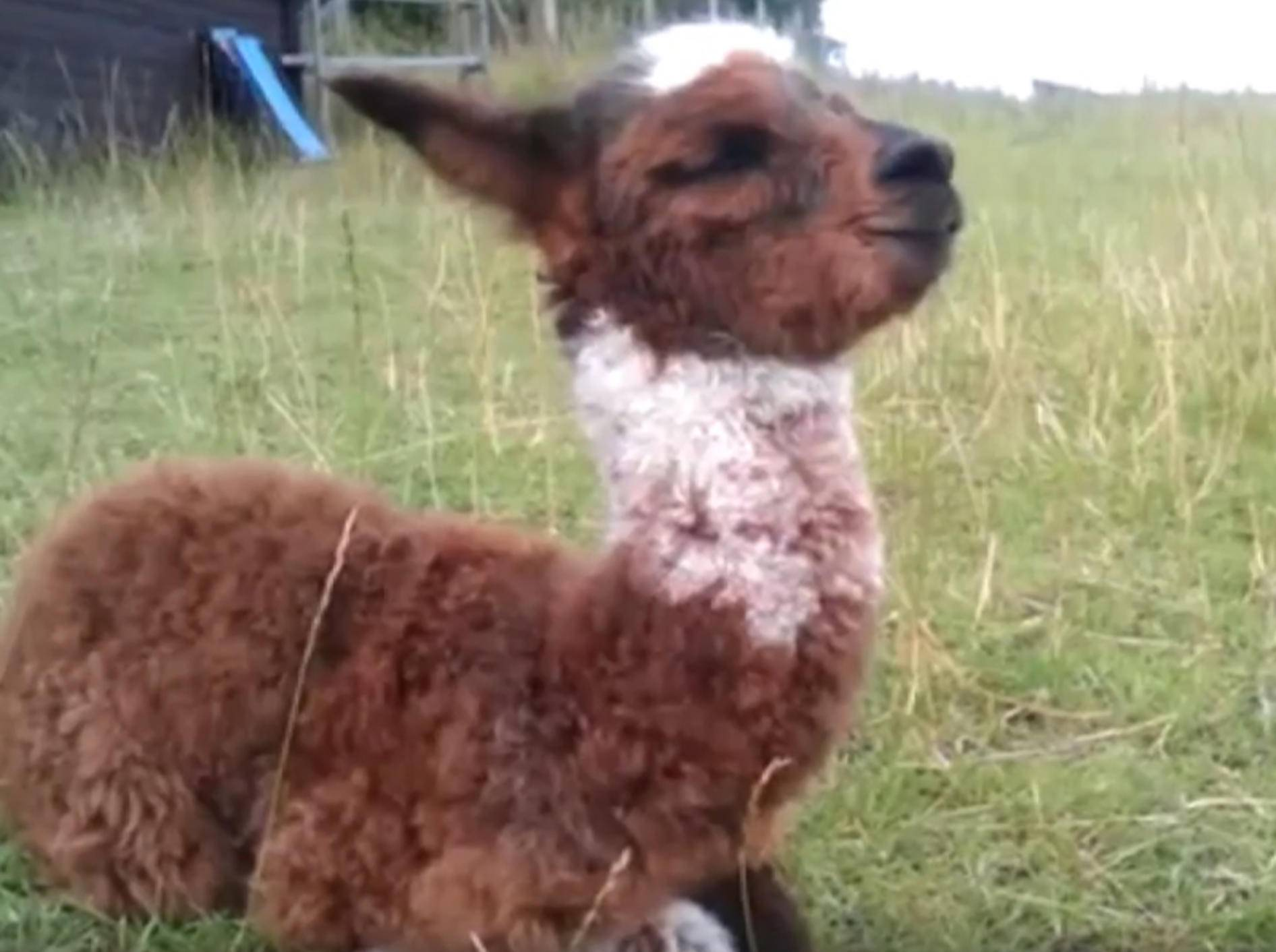 Gibt es etwas Süßeres als Baby-Alpakas? - Bild: YouTube / Inkari Alpaca