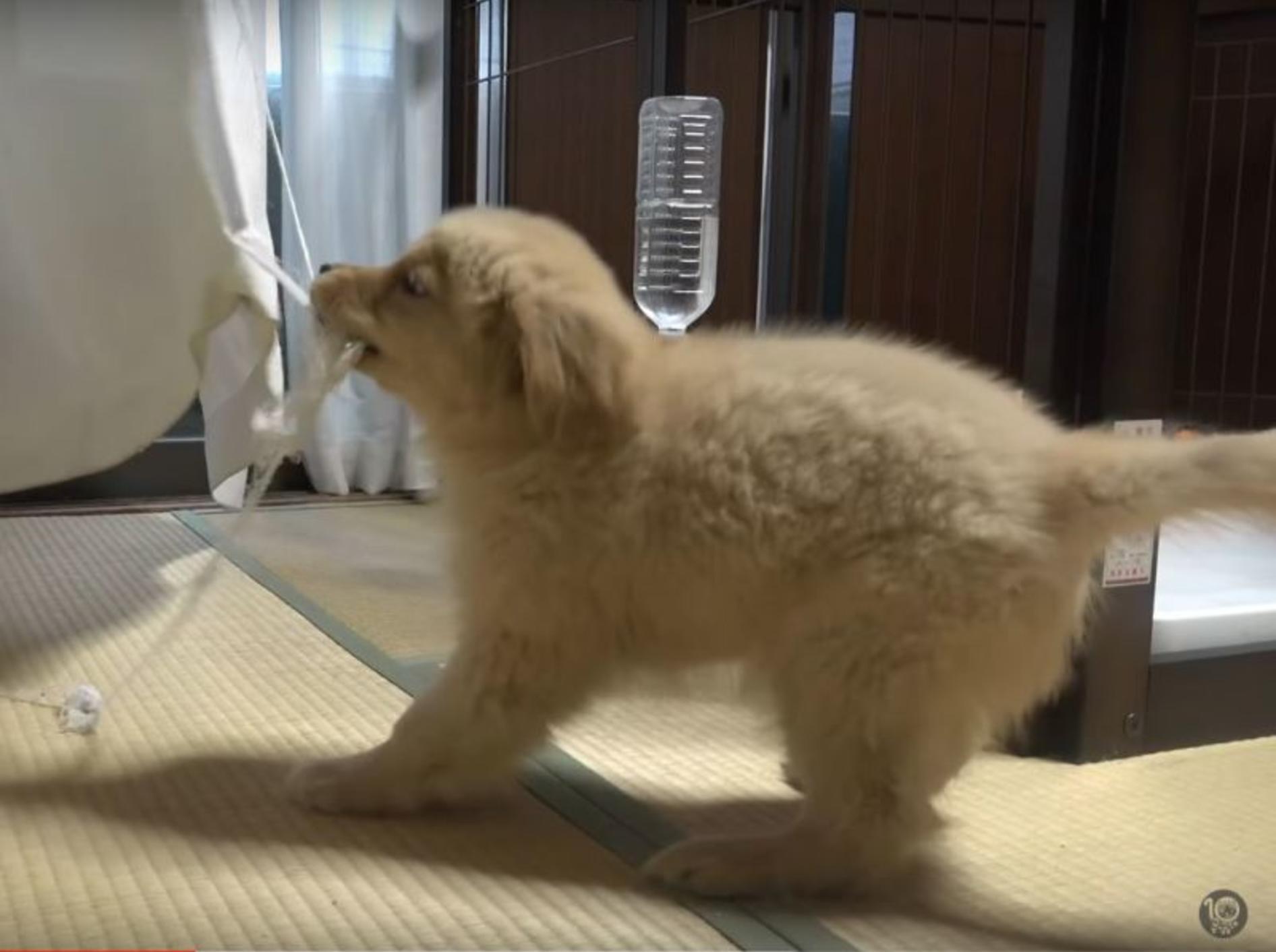 Golden Retriever Welpe veranstaltet eine Abrissparty – YouTube / 10 Cats.+