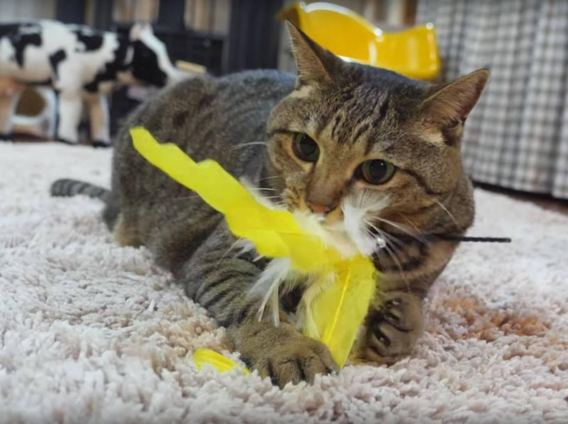 Katze Hana auf der Jagd nach dem Federspielzeug – YouTube / mugumogu
