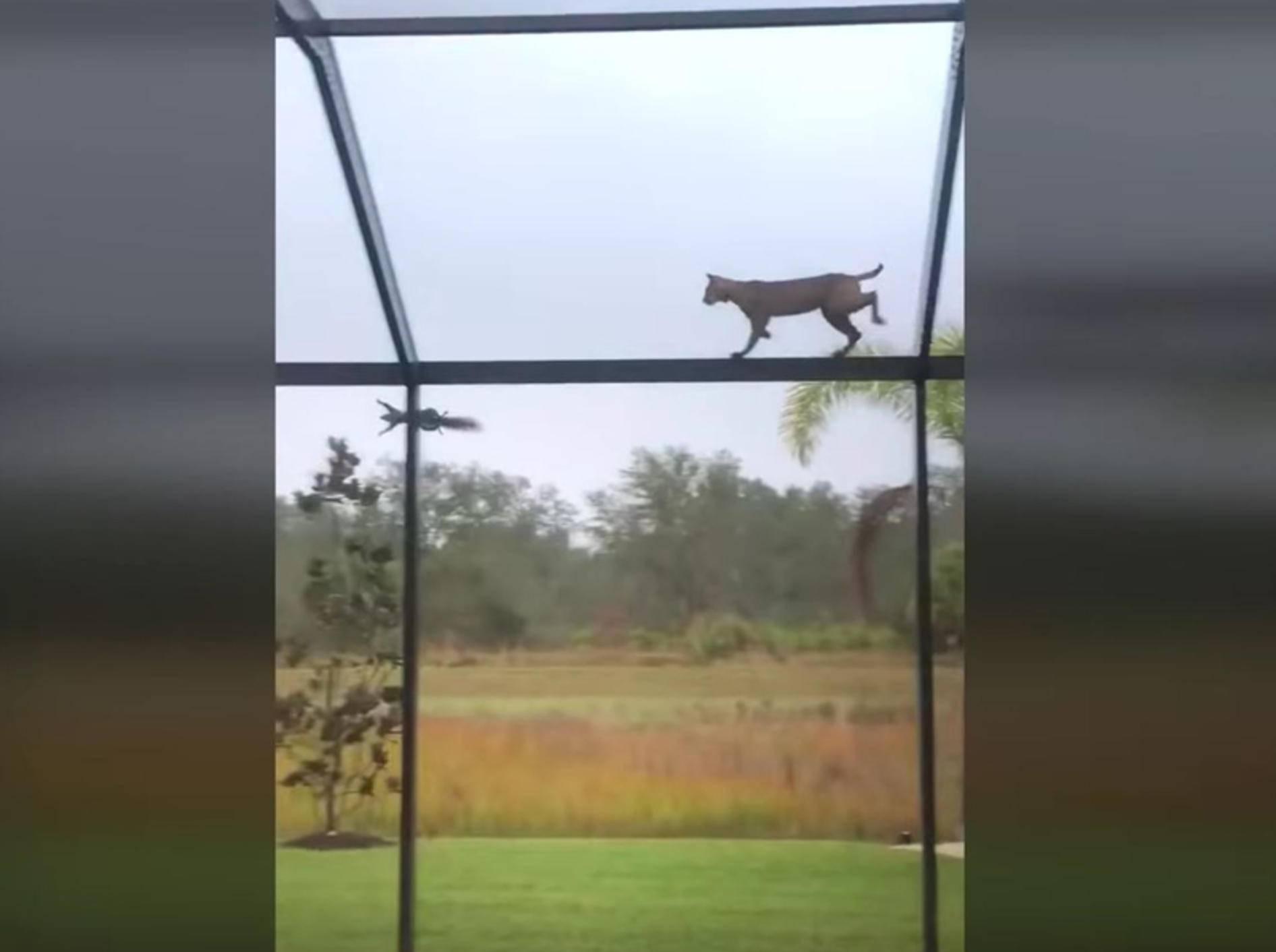 Kletterkünstler: Luchs versucht, Hörnchen zu fangen –YouTube / Cat Man Chris