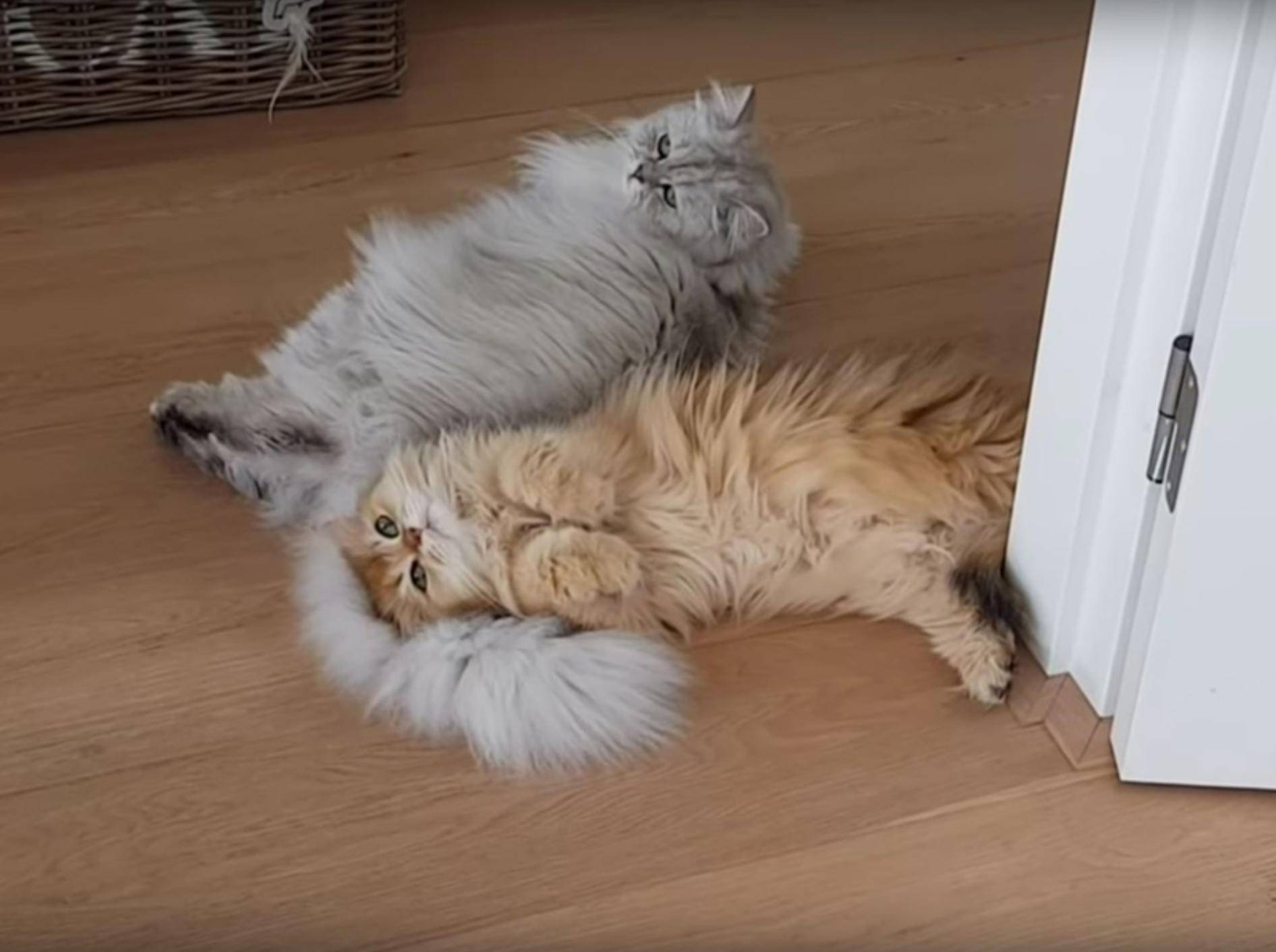 Flauschkatzen Smoothie und Milkshake kuscheln, was das Zeug hält – YouTube / smoothiethecat
