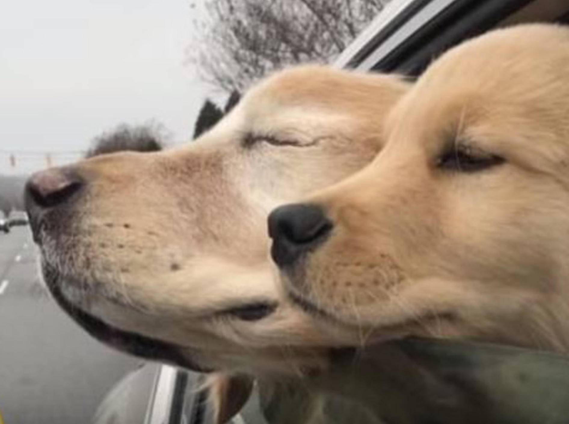 Golden Retriever Charlie ist blind und hat einen eigenen Blindenhund - Bild: YouTube / NBC10 Philadelphia
