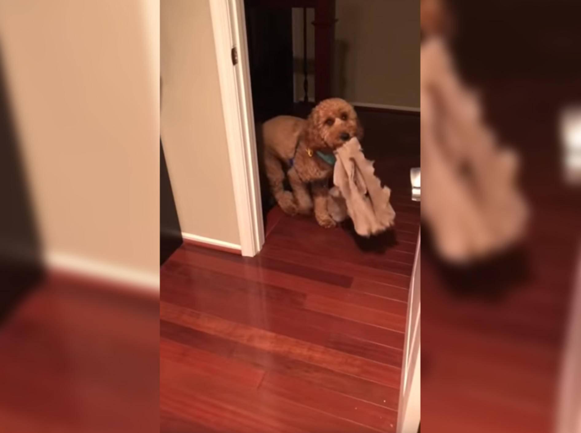 Ohne irgendeinen Gegenstand geht Hund Bentley nicht ins Bett - Bild: YouTube / Minidoodle Bentley