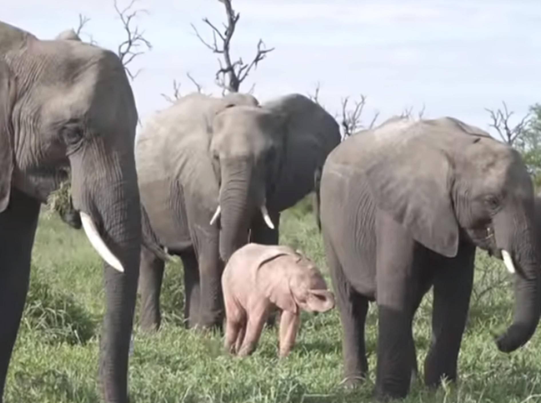 In Afrika bekamen Safari-Touristen ein rosa schimmerndes Elefanten-Baby zu Gesicht - Bild: YouTube / Caters Clips