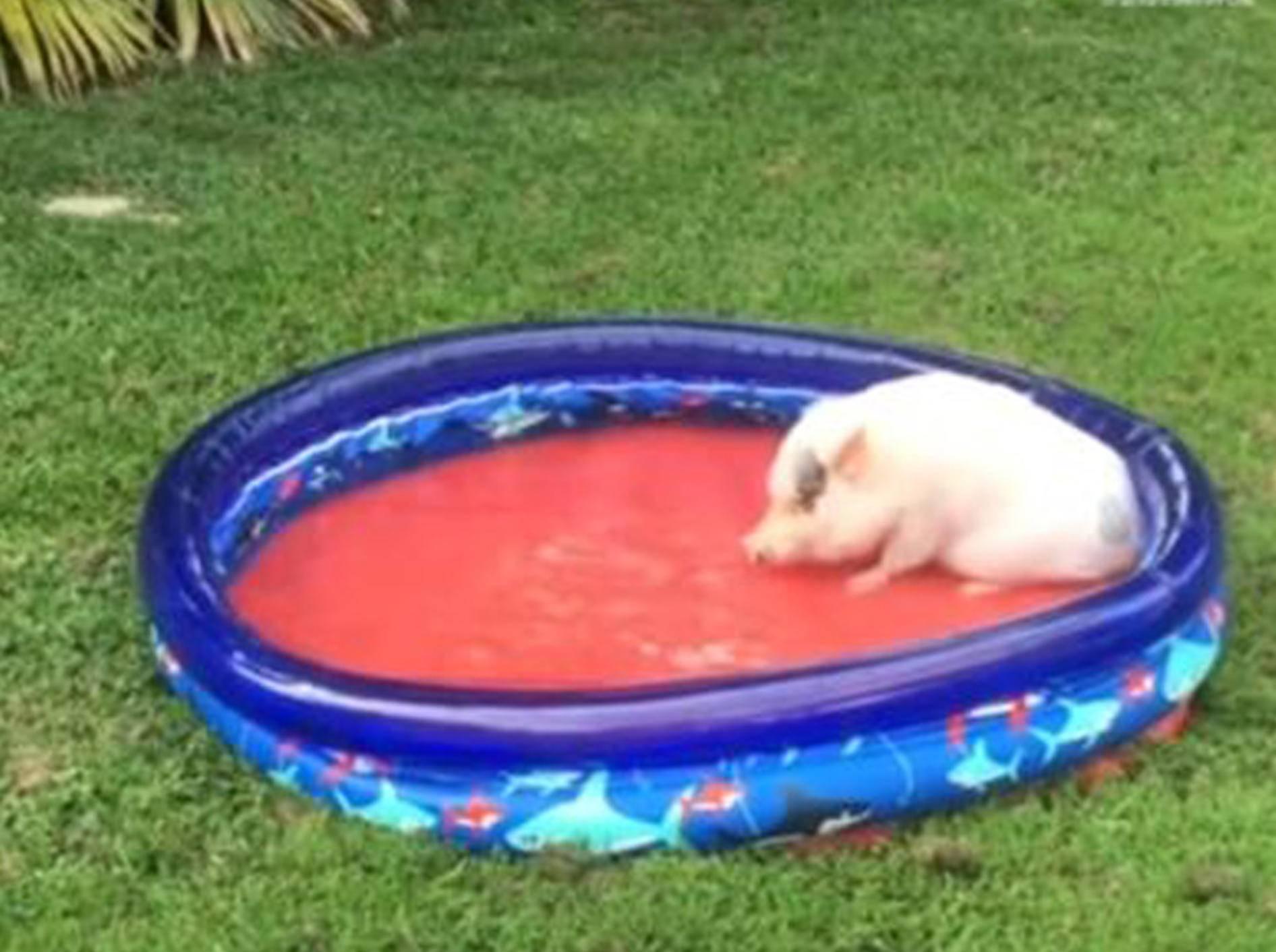 Schweinchen Hank lässt es sich im Plantschbecken gut gehen - Bild: YouTube / Rumble Viral