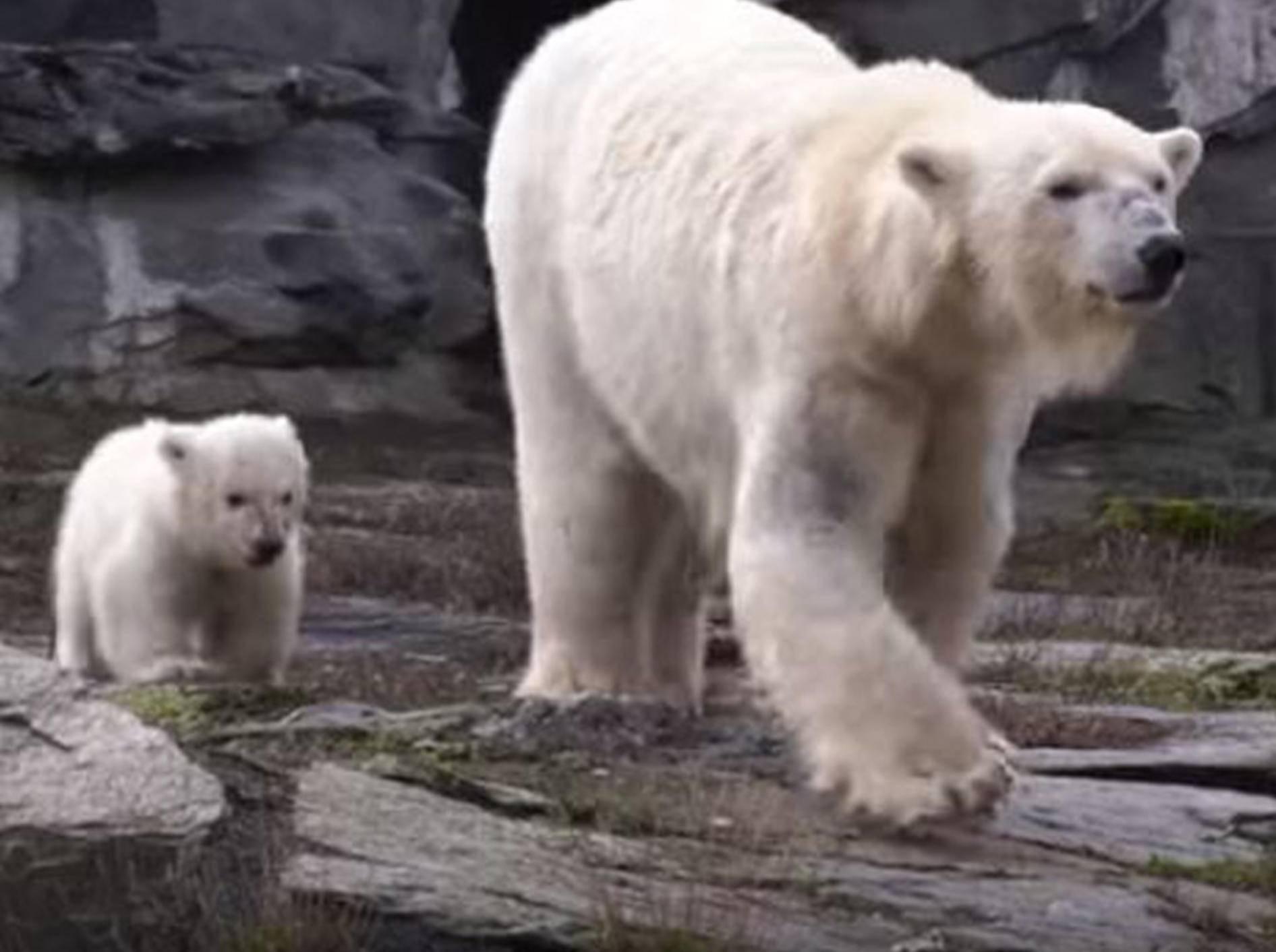 Der Berliner Tierpark freut sich über Eisbär-Nachwuchs - Bild: YouTube / Zoo und Tierpark Berlin