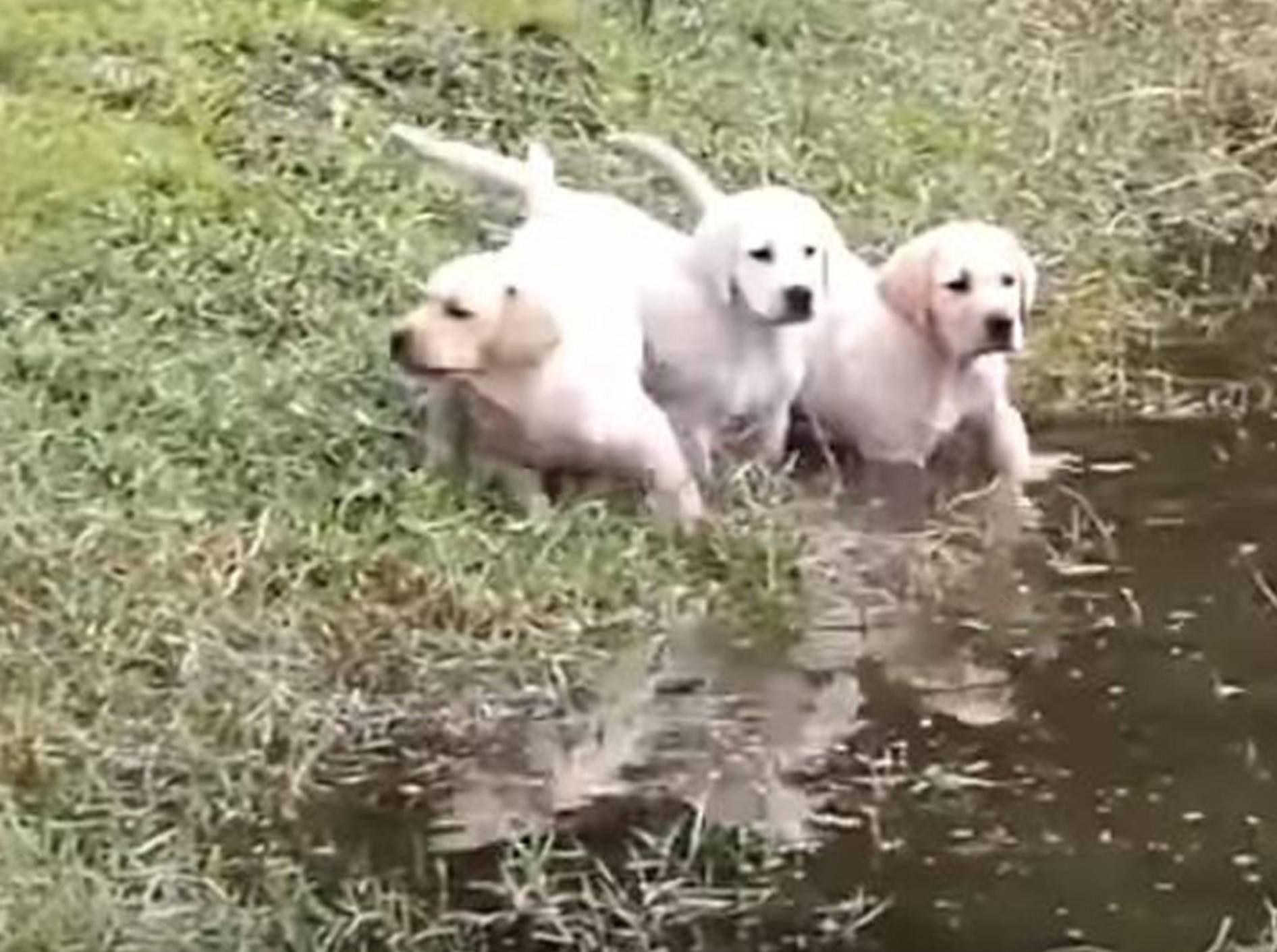 Diese süßen Welpen lernen von ihrem Papa das Schwimmen - Bild: YouTube / Rumble Viral