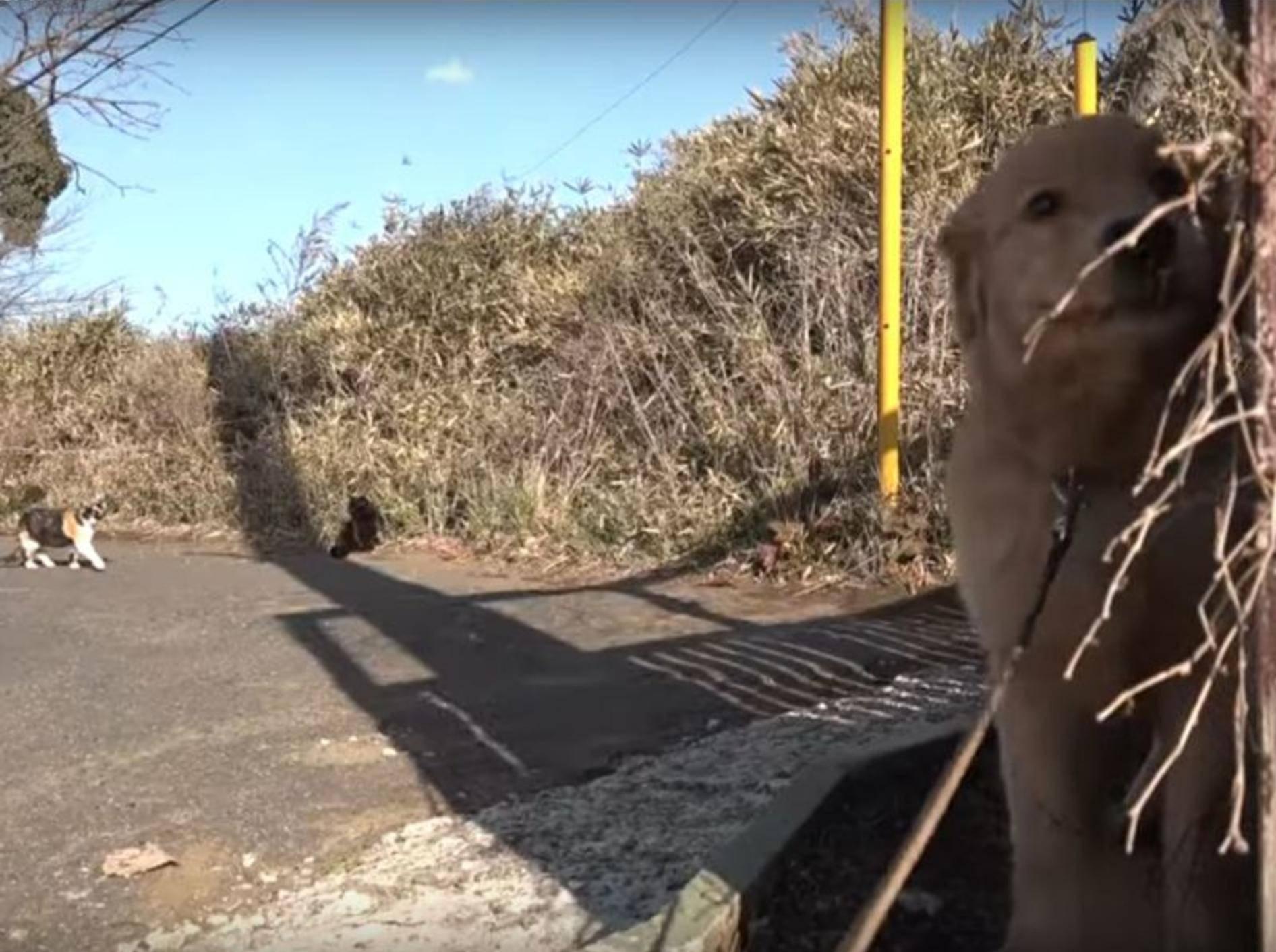 Golden Retriever Welpe Kuuta trifft Streunerkatzen beim Gassigehen – YouTube / 10 Cats.+