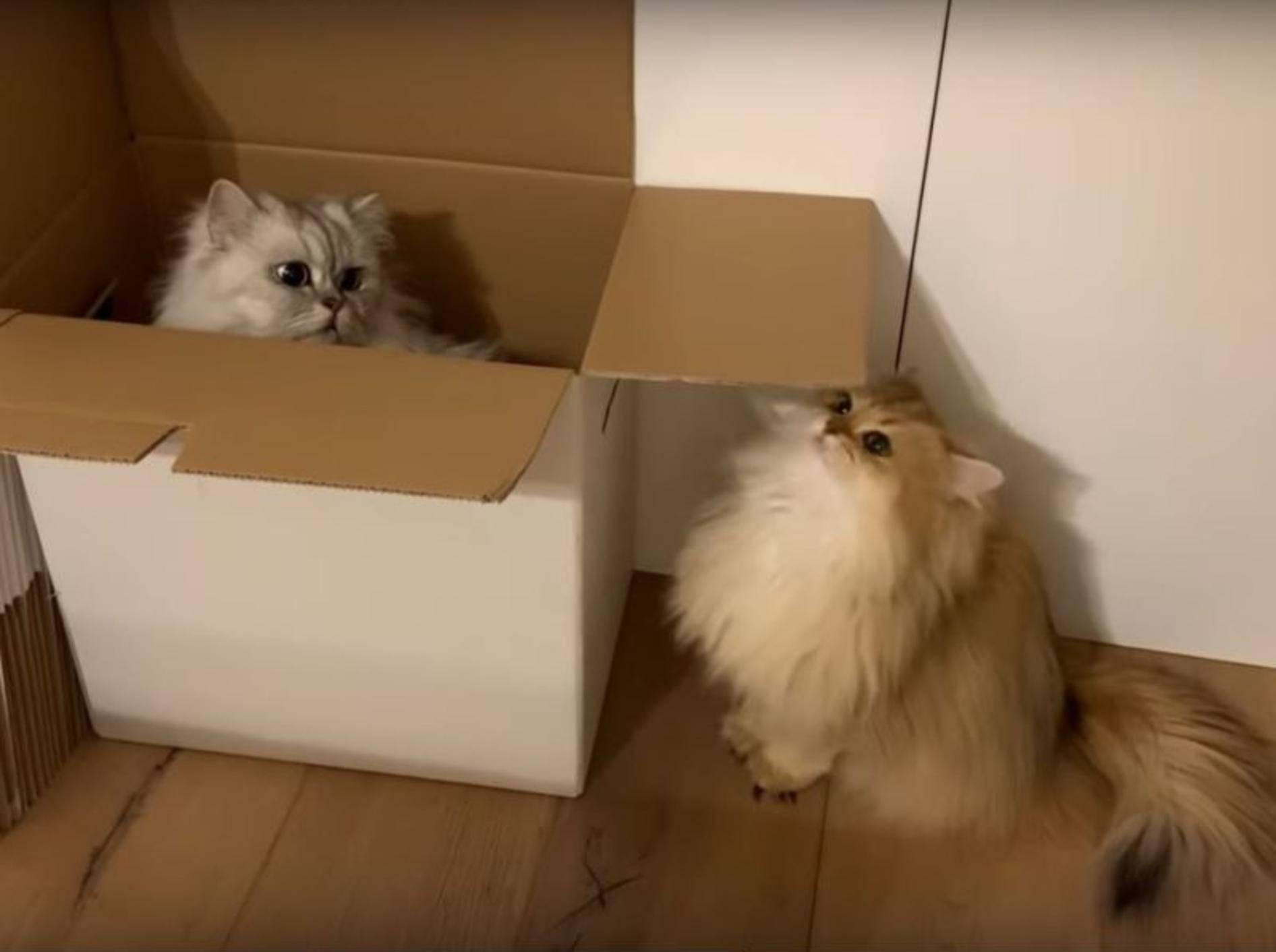 Flauschkatzen Smoothie und Milkshake helfen beim Umzug – YouTube / smoothiethecat