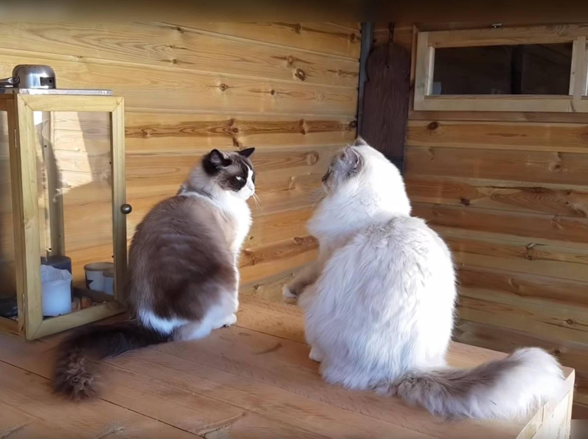 Ragdoll-Kater Timo und Toby liefern sich plüschiges Flausch-Duell – YouTube / Xiedubbel