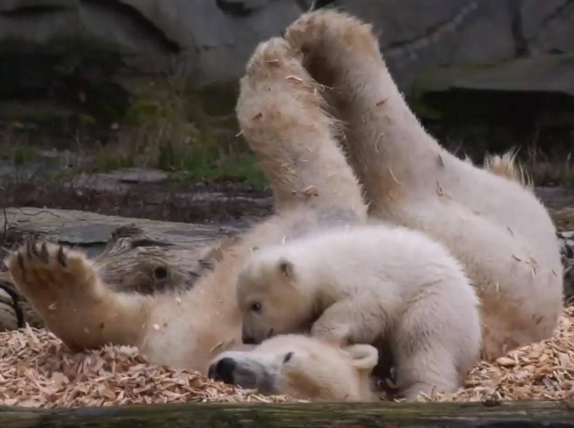 Eisbär-Baby Hertha wälzt sich mit Mama Tonja in Spänen - Bild: YouTube / Zoo und Tierpark Berlin