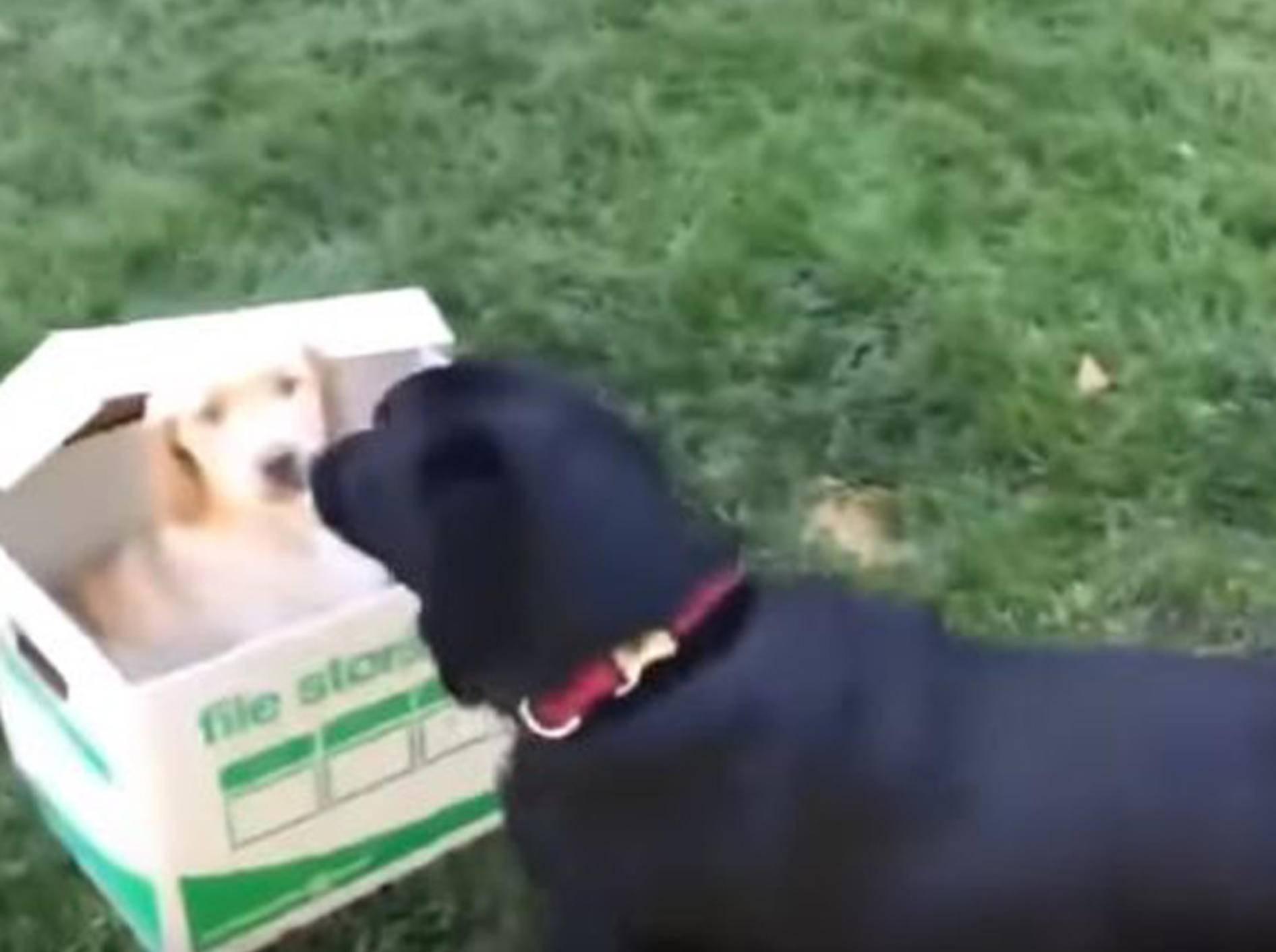 Die Freude über ein Geschwisterchen ist bei diesem Labrador groß - Bild: YouTube / RM Videos