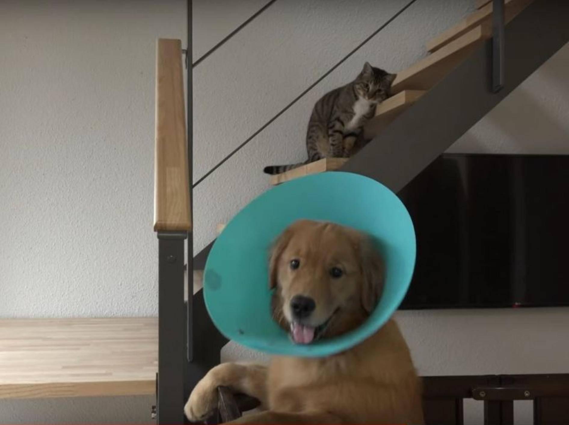 Golden Retriever Welpe Kuuta wurde kastriert und muss Halskrause tragen – YouTube / 10 Cats.+
