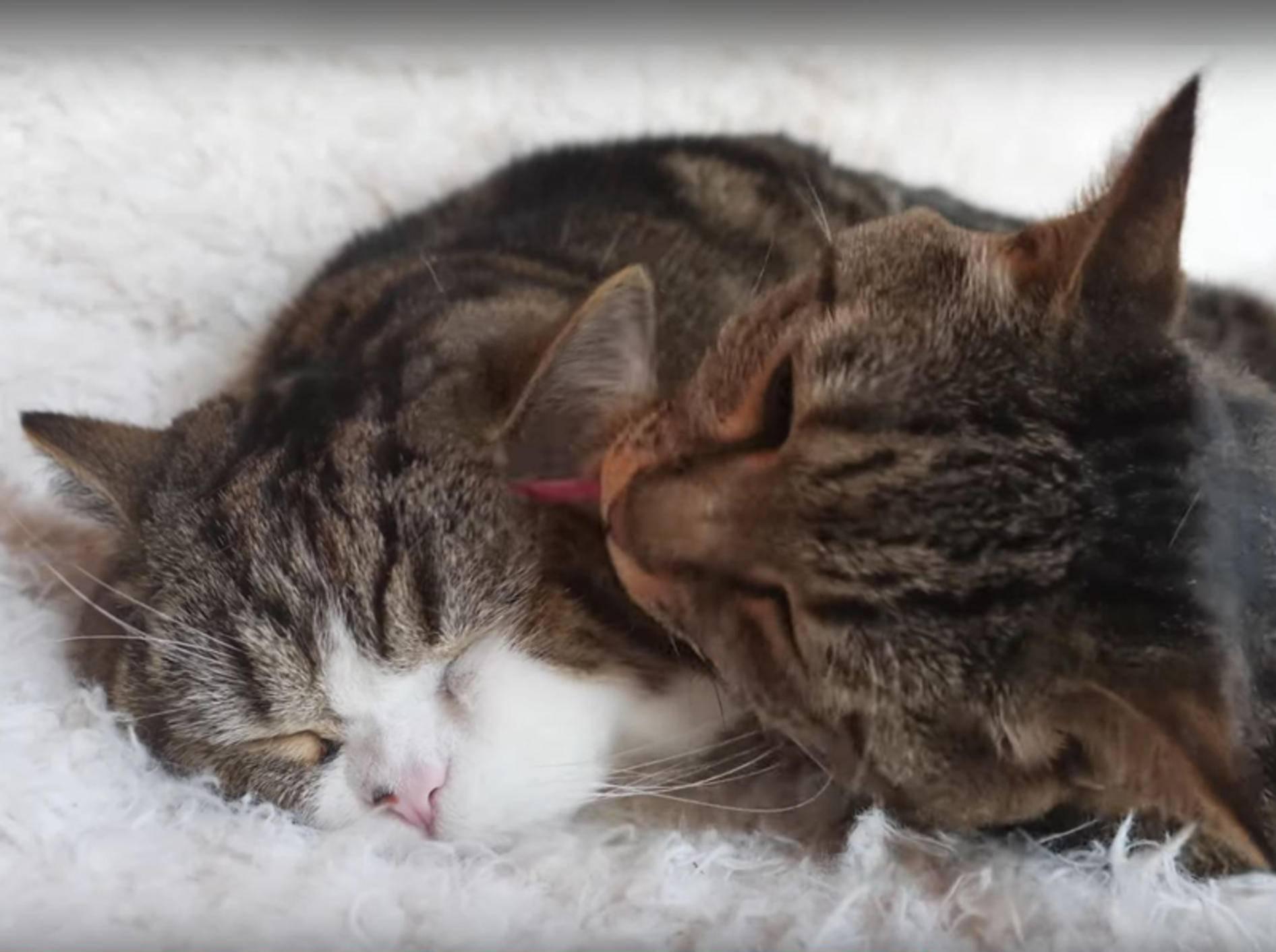 Katzenfreunde Maru und Hana veranstalten Kuschelputzparty – YouTube / mugumogu