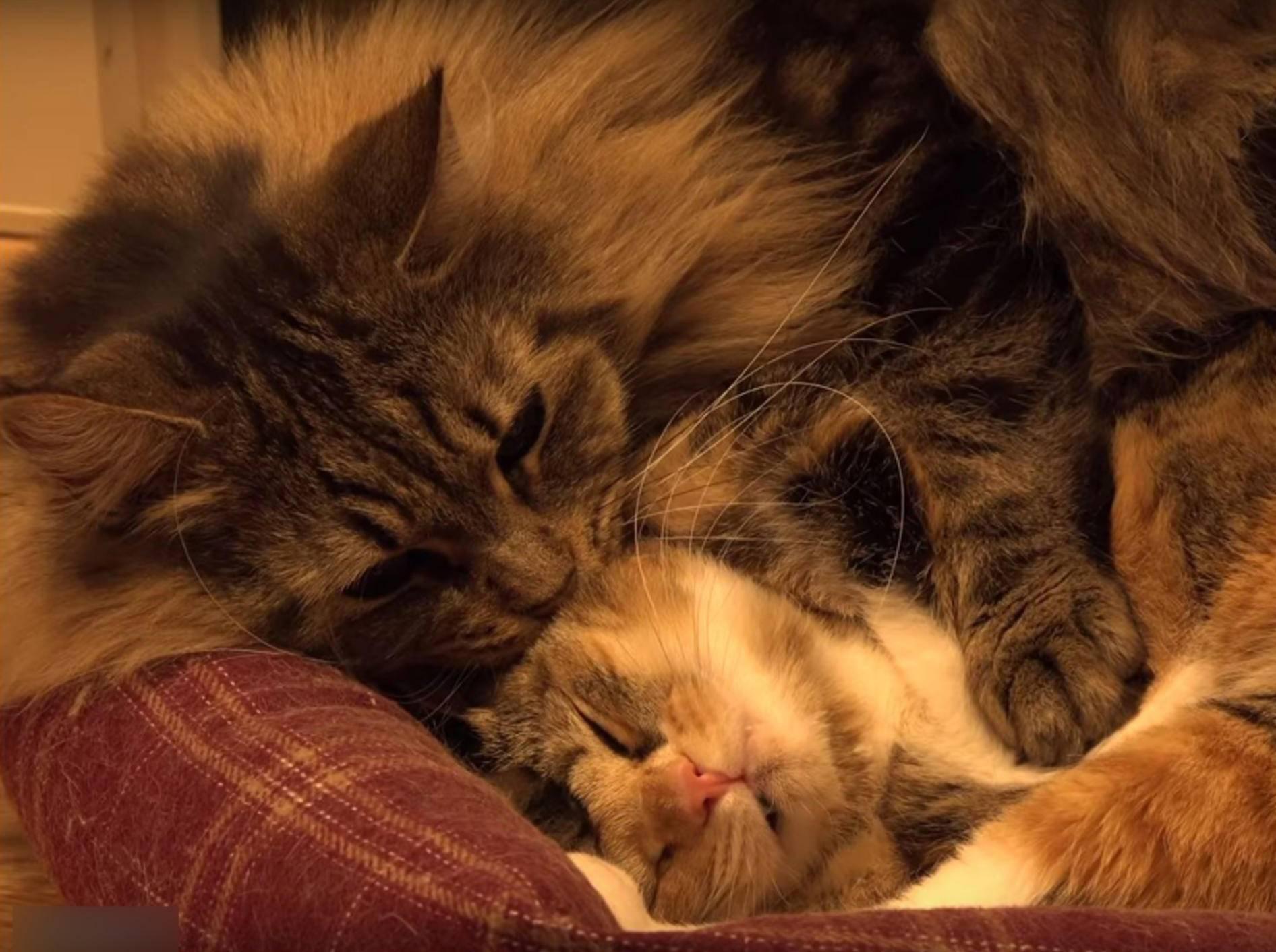 Flauschkater Osamu schnuckelt mit Katzenfreundin Ichigo – YouTube / 10 Cats.+