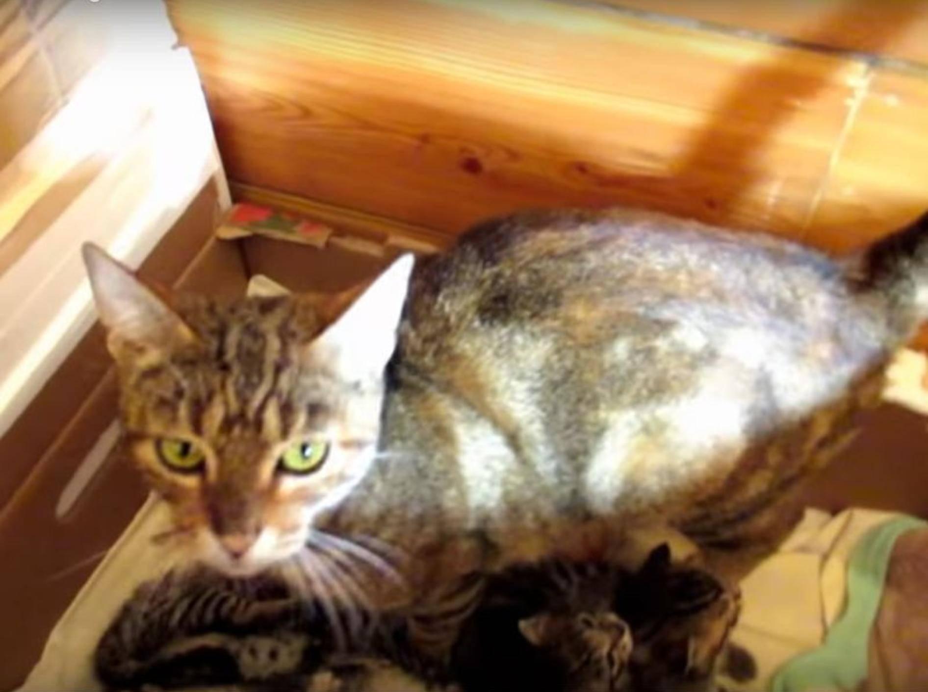 Gestatten: Katzenmama Hildy und ihre acht Katzenbabys! – YouTube / The Kits Cats