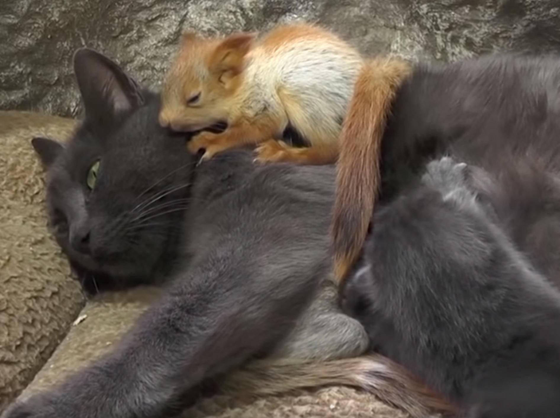 Katze Puscha kümmert sich liebevoll um vier verwaiste Eichhörnchen-Babys - Bild: YouTube/euronews (deutsch)