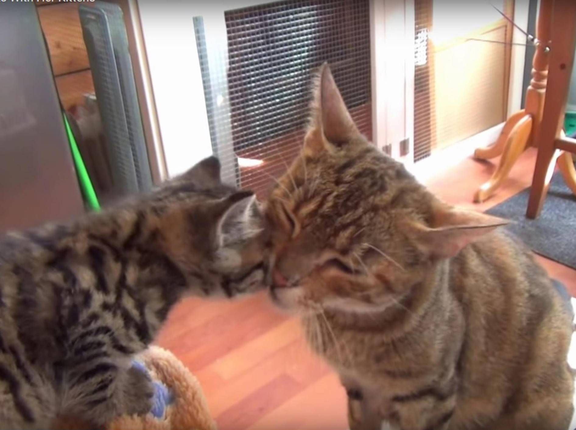 Katzenmama Hildy beim Plausch mit ihren Babys – YouTube / The Kits Cats