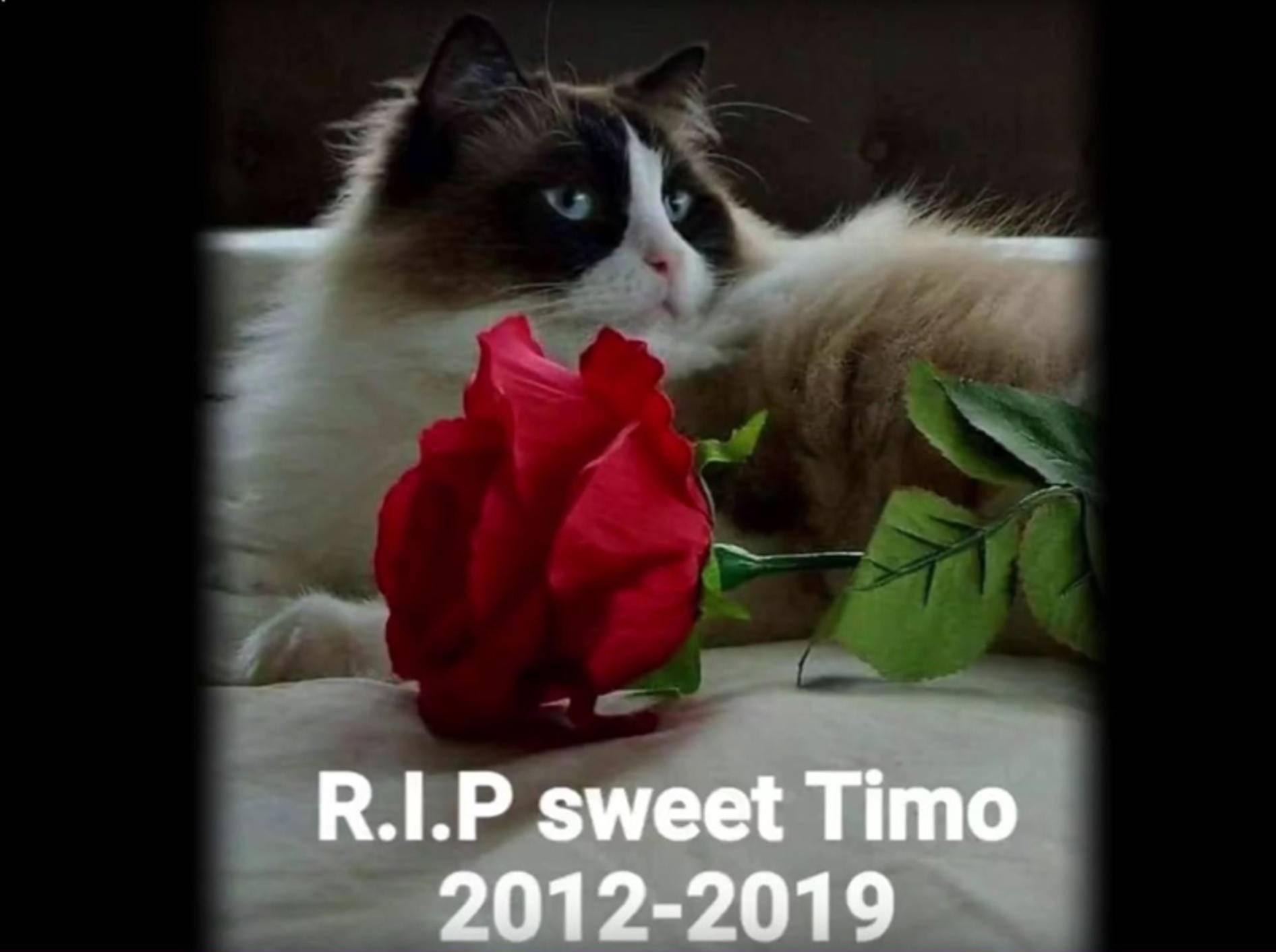 Traurige Nachricht: Ragdoll-Kater Timo ist gestorben – YouTube / Xiedubbel