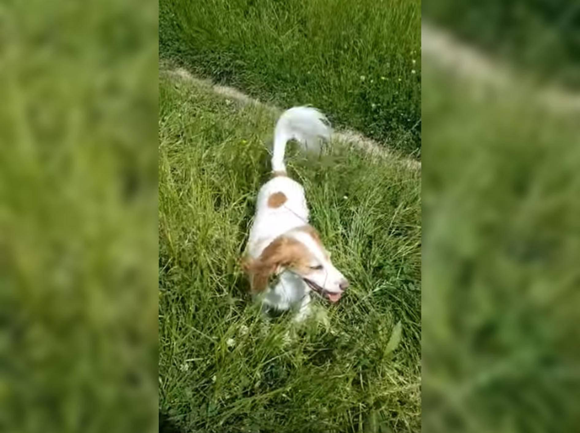 Diese süße Fellnase hat Spaß im Getreidefeld - Bild: YouTube / ViralHog