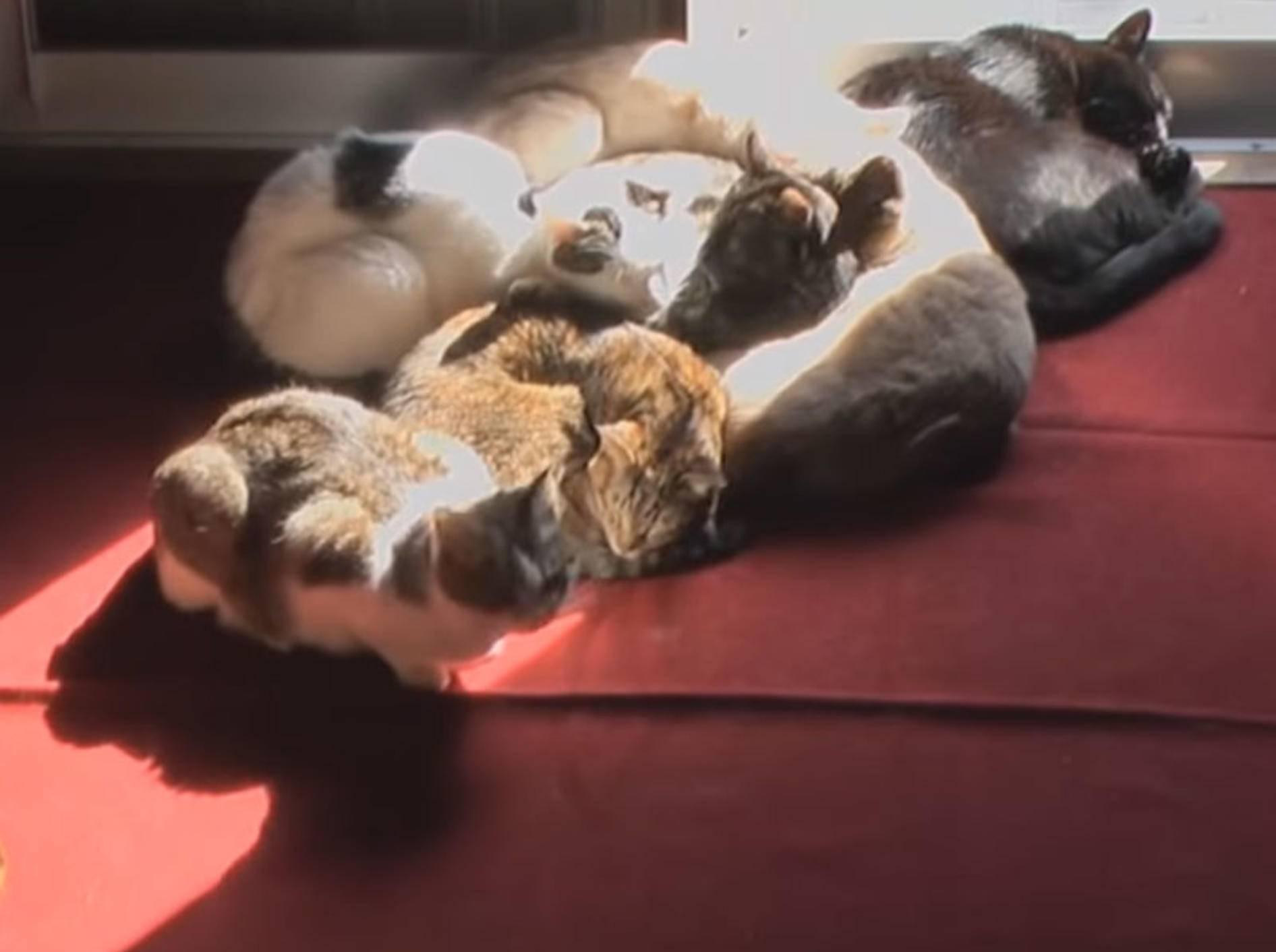 Diese Samtpfoten genießen die Sonnenstrahlen, die ins Zimmer dringen - Bild: YouTube / Mieze Cat