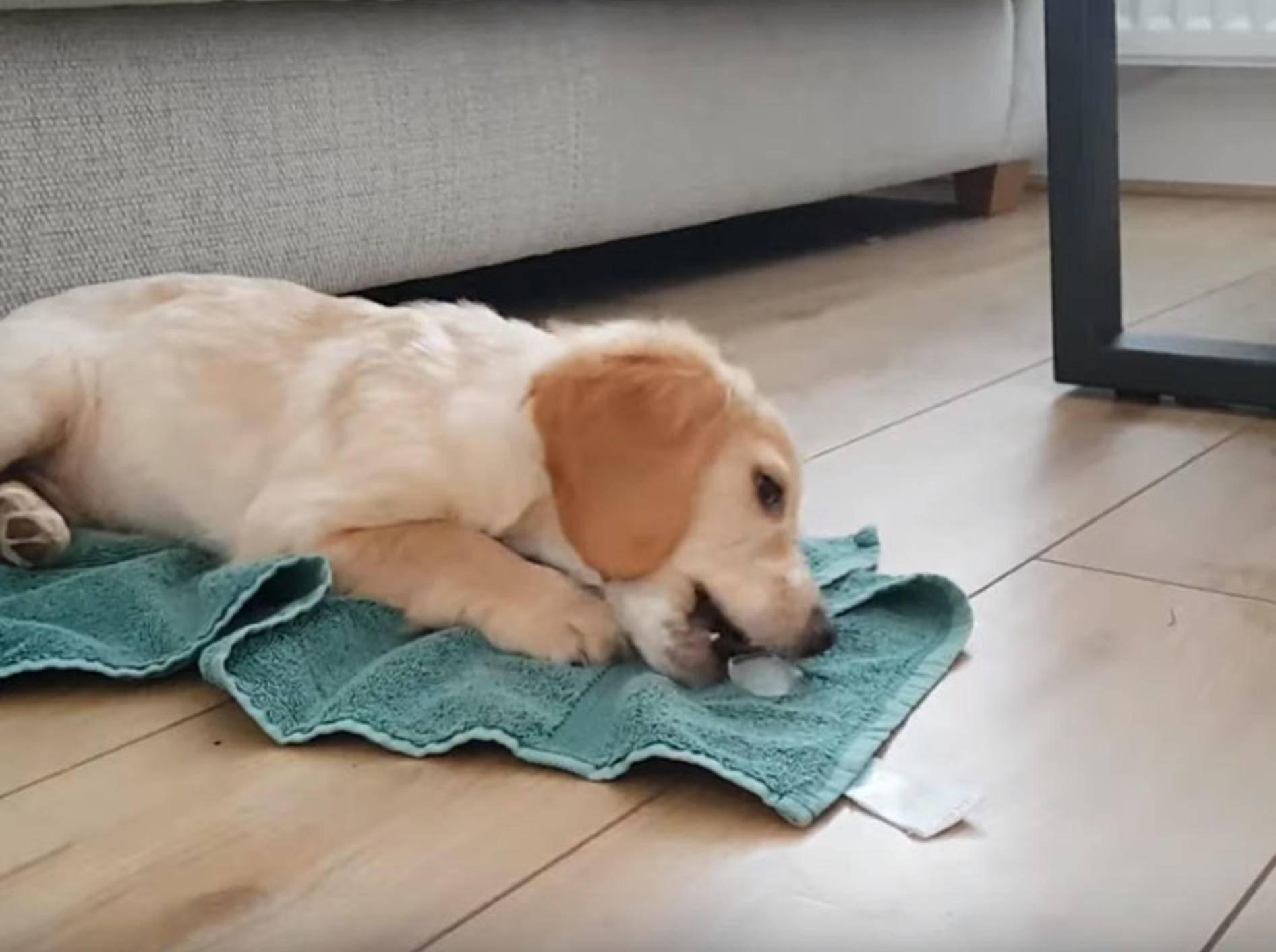 Dieser süße Welpe inspiziert ausgiebig einen Eiswürfel - Bild: YouTube / Rumble Viral