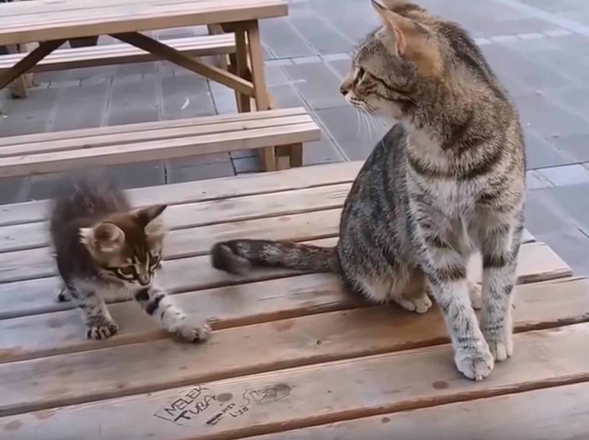Dieses verspielte Katzenbaby hat es faustdick hinter den Ohren - Bild: YouTube / meowmeow