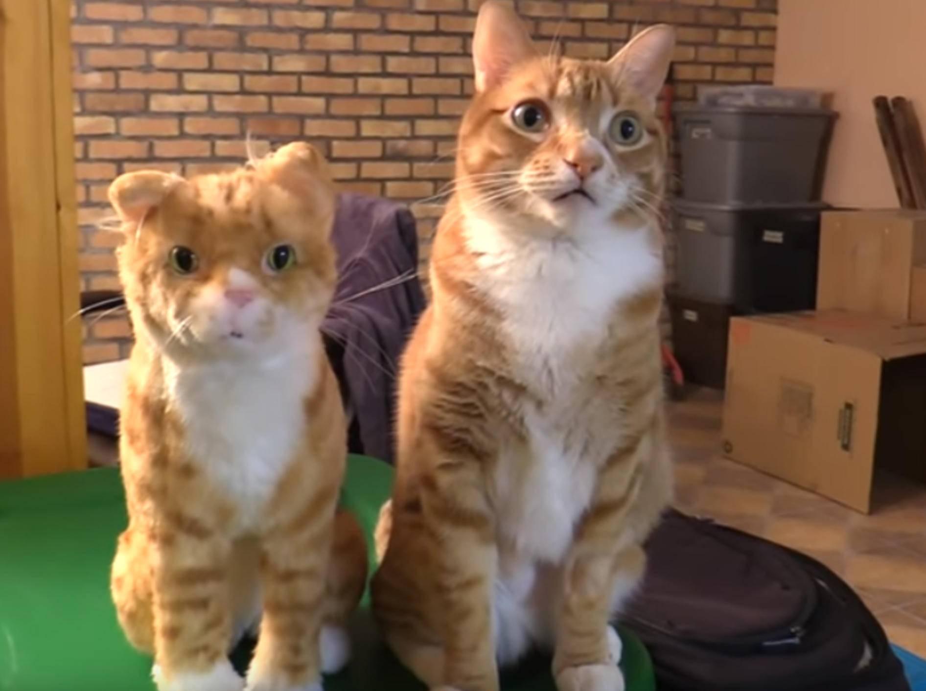 Samtpfote Marmalde trifft auf ihr plüschiges Pendant - Bild: YouTube / Cole and Marmalde