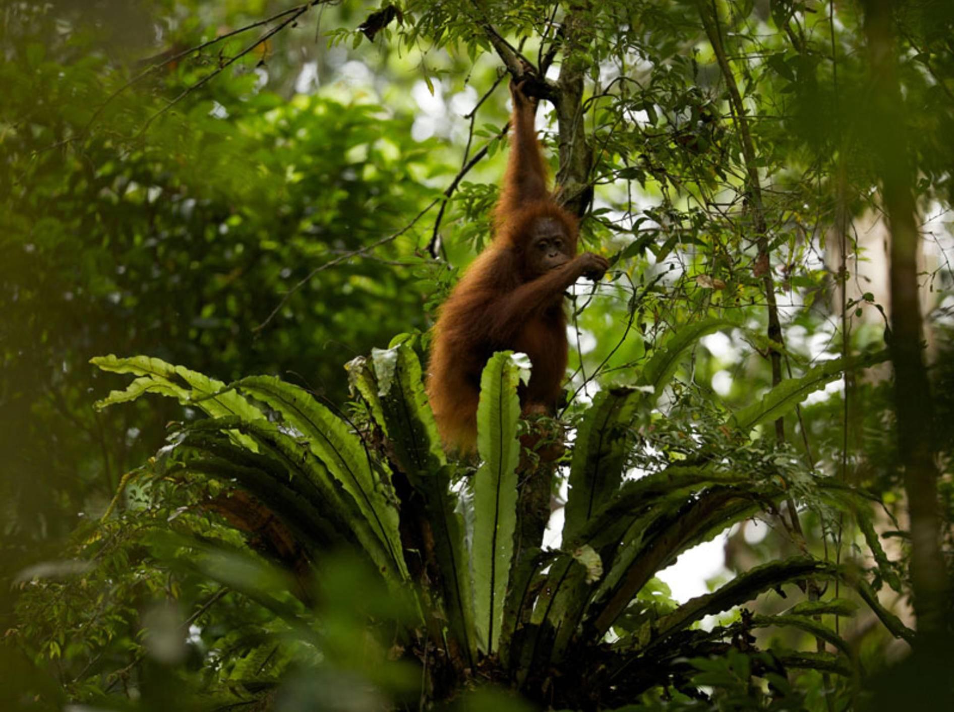 Tiere wie der Borneo-Orang-Utan verlieren ihren Lebensraum - Bild: WWF / Tim Laman