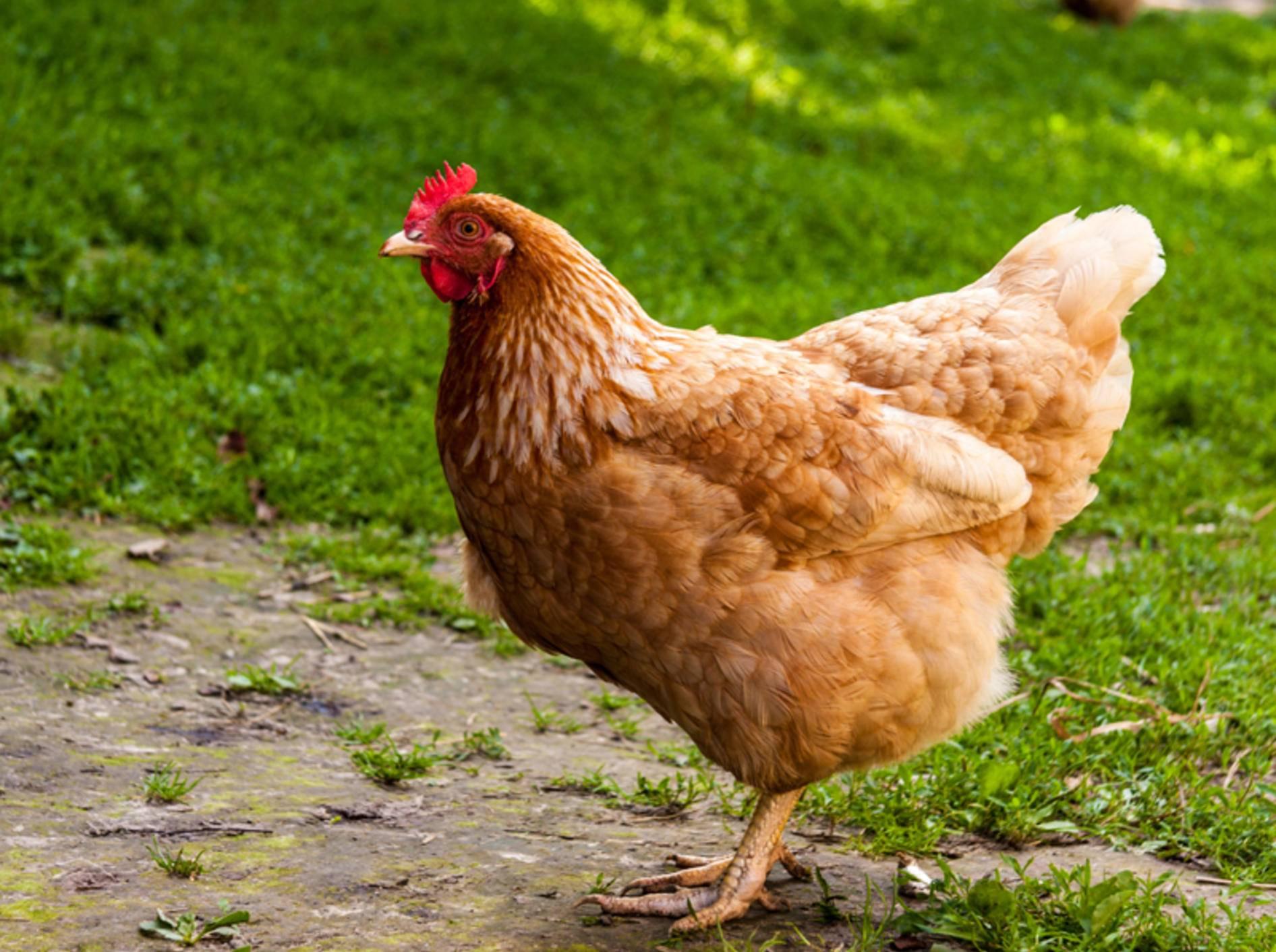 Was gibt es bei der Hühnerhaltung eigentlich zu beachten? - Bild: Shutterstock / TaFaN