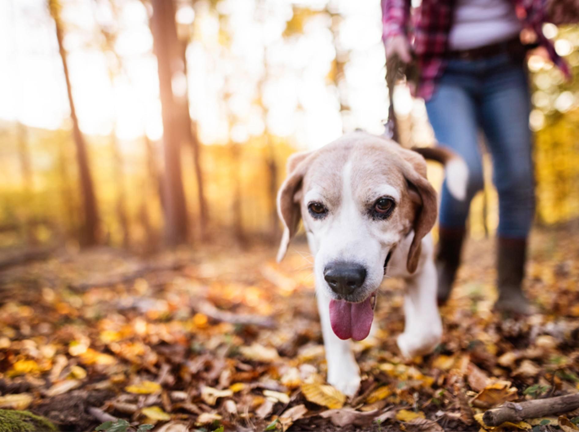 Ein Hund in Bermerhaven wurde bei einem Waldspaziergang zum Helden - Bild: Shutterstock / Halfpoint
