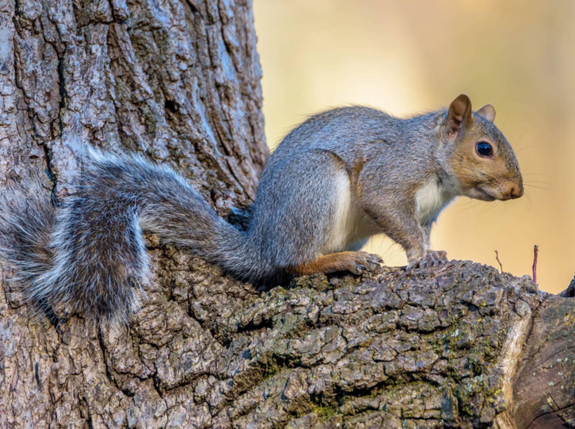 Eichhörnchen hören ganz genau in, wenn Vögel zwitschern - Bild: Shutterstock / Sterling E Thompson