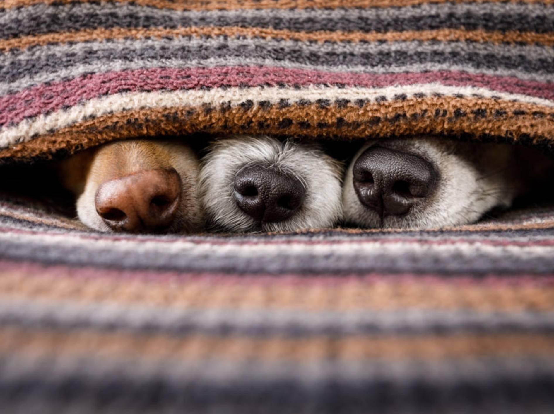 Eine neue Studie hat herausgefunden: Hunderassen unterscheiden sich nicht nur im Aussehen - Bild: Shutterstock / Javier Brosch