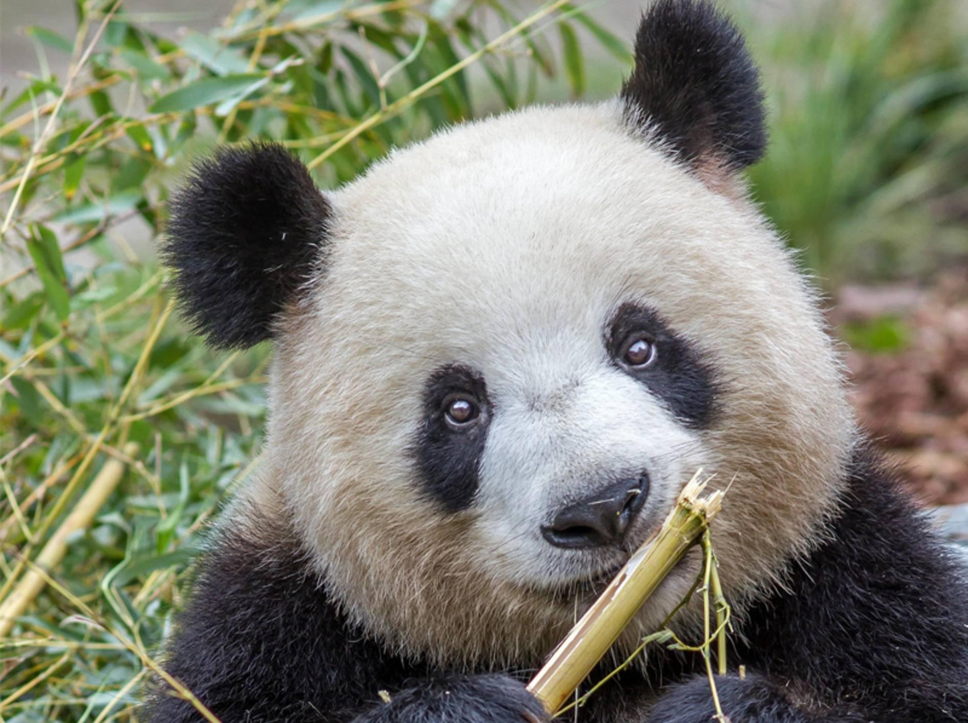 Panda-Dame Meng Meng ist zum ersten Mal Mama geworden - Bild: Zoo Berlin