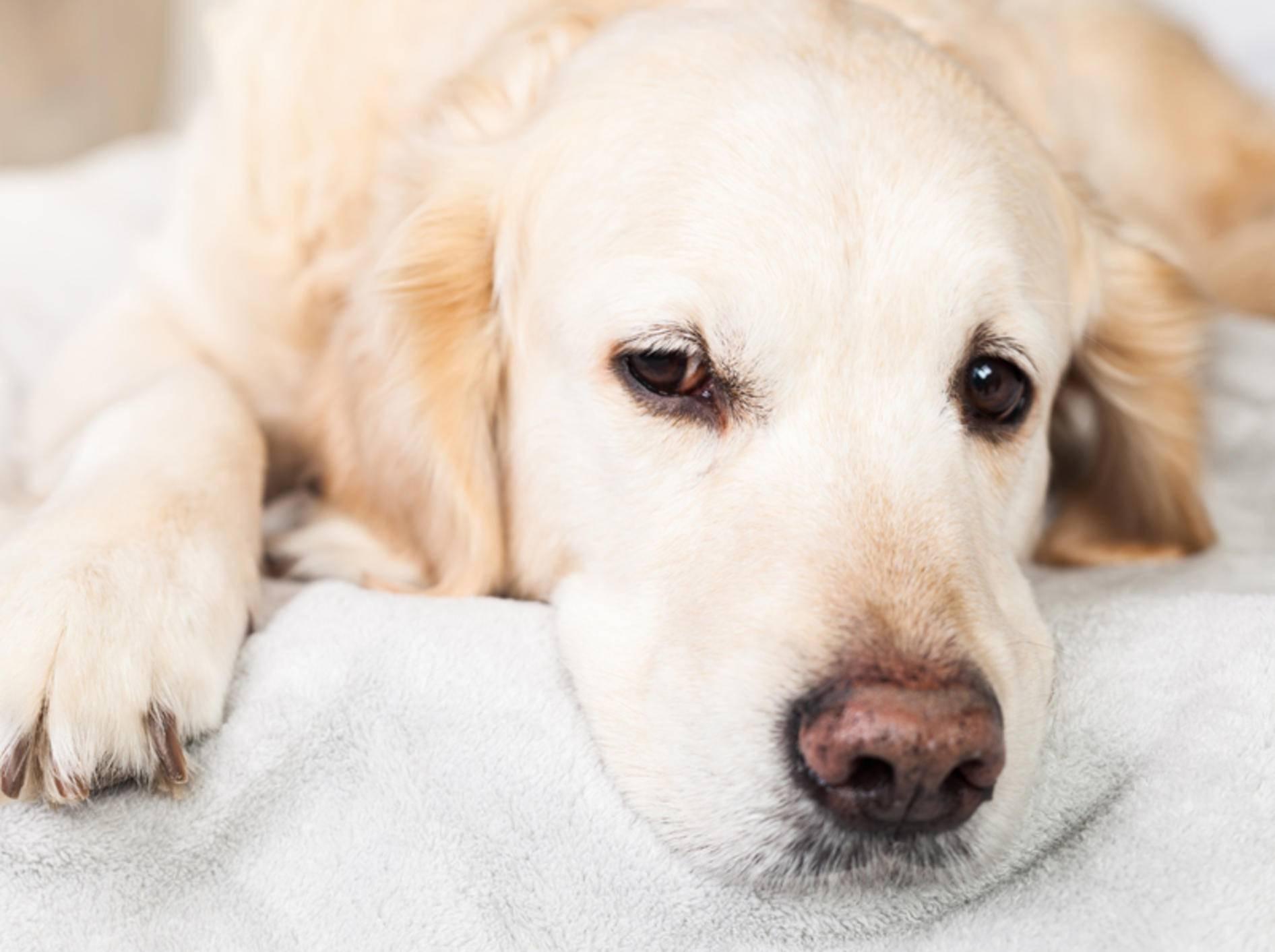 Das Vestibularsyndrom tritt häufig bei älteren Hunden auf - Bild: Shutterstock / Prystai