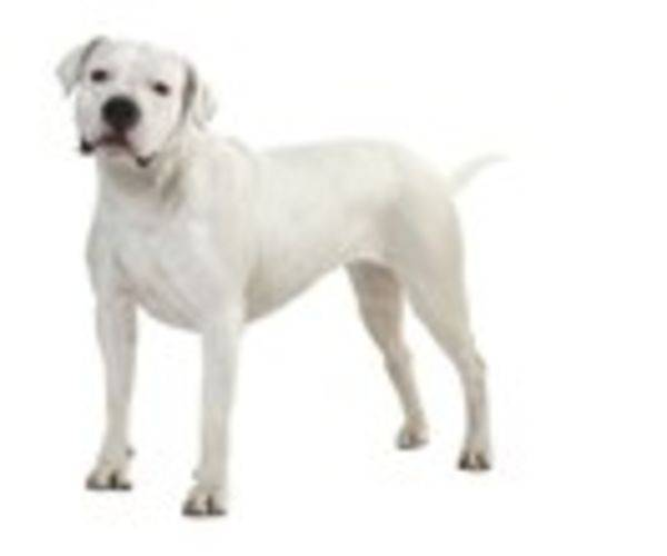 Dogo Argentino Alle Infos Und Tipps Zur Rasse