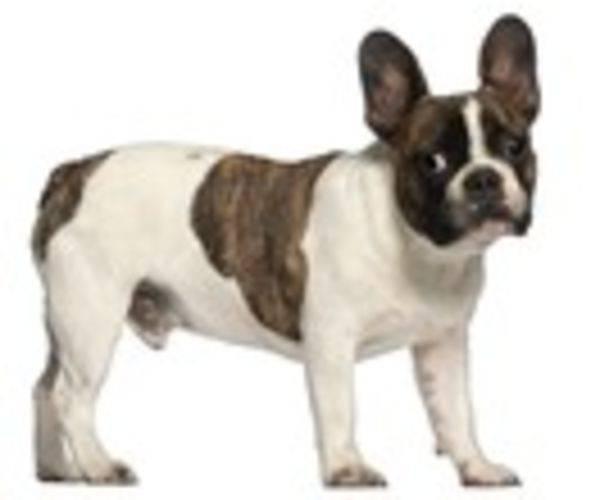 Franzosische Bulldogge Alle Infos Und Tipps Zur Rasse