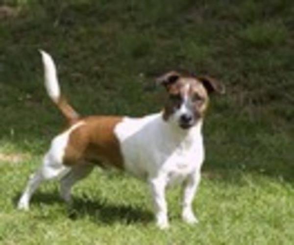 Der Jack Russell Terrier: Charakter, Wesen, Haltung und
