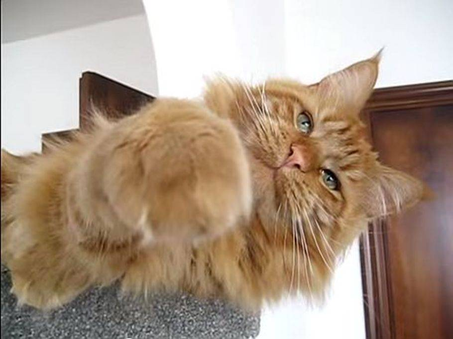Maine coon rot