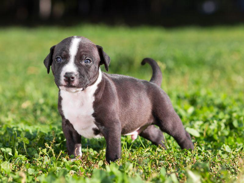 American Staffordshire Terrier Erziehung