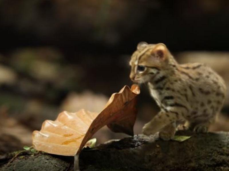Katzen der welt kleinste Raubkatzen: Die